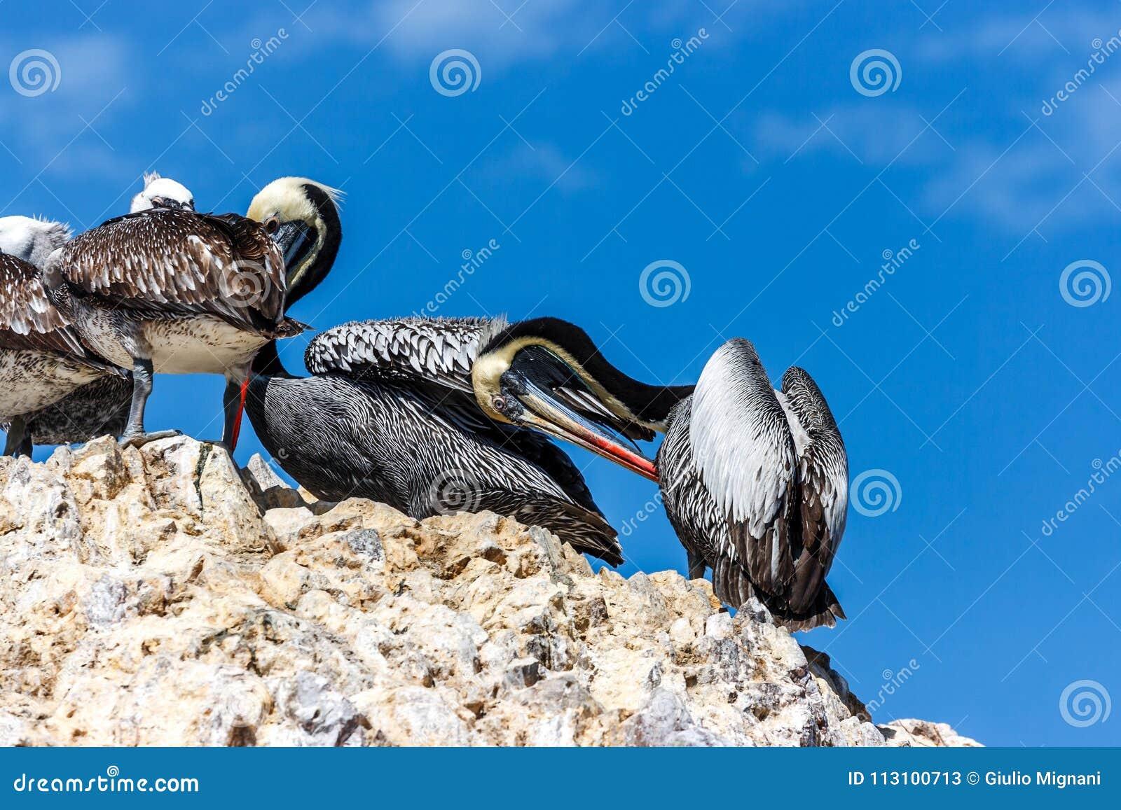 Pelikany w Islas Ballestas, Paracas półwysep, Peru