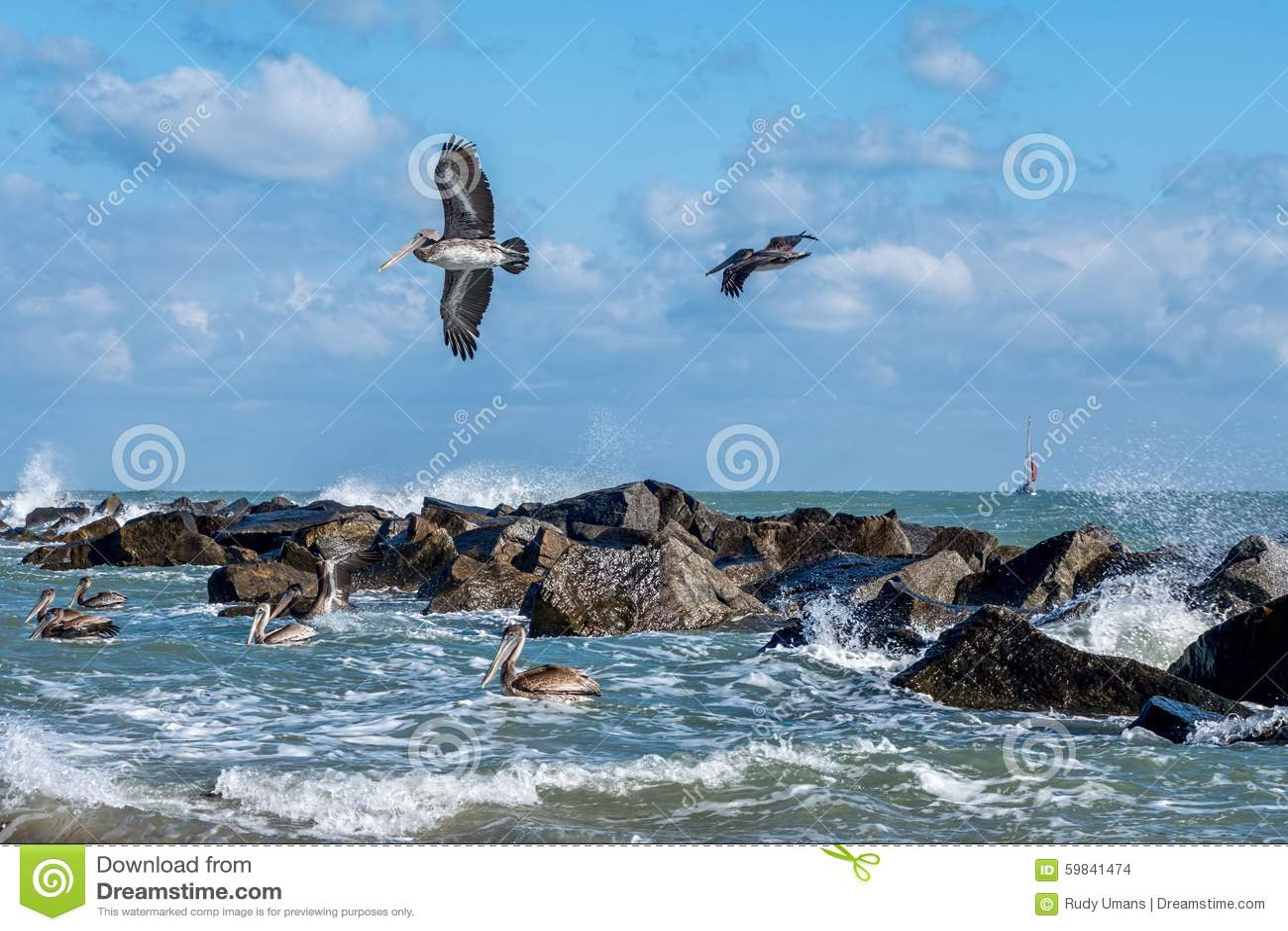 Pellicani costieri di Brown