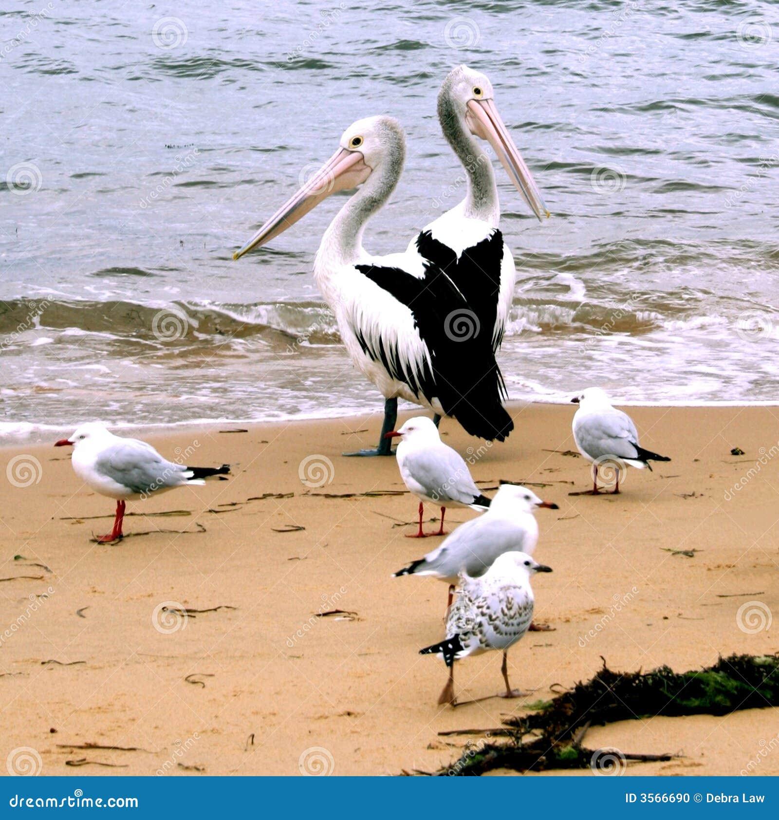 Pellicani dell Australia