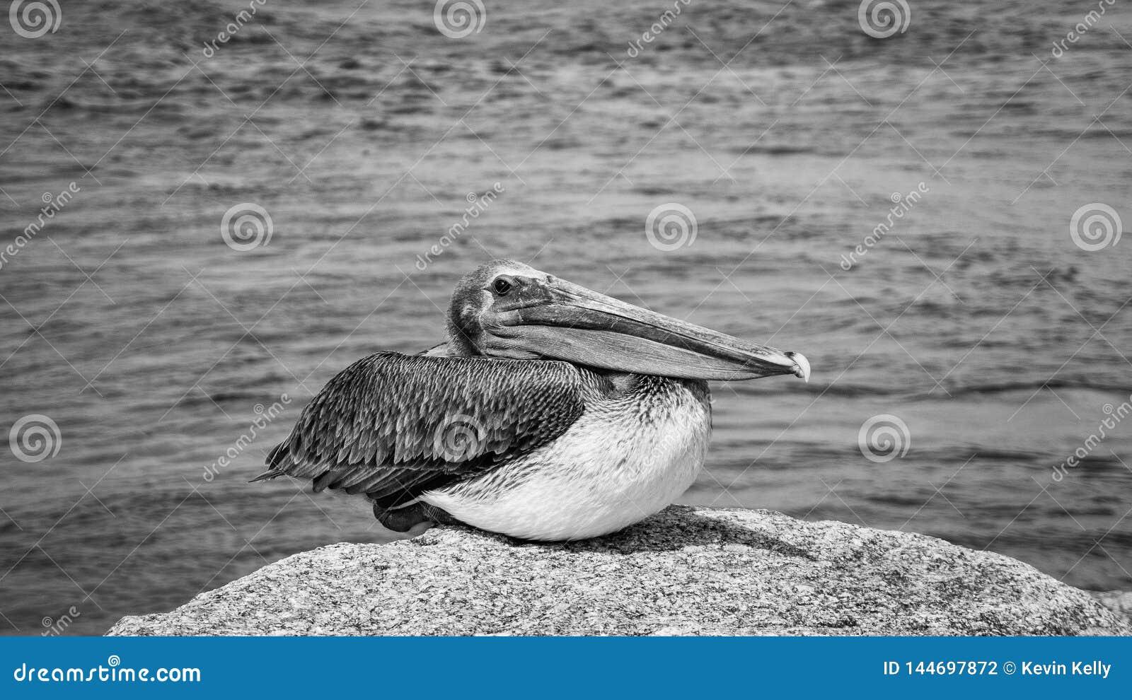 Pellicano Jupiter Inlet Atlantic Ocean Florida