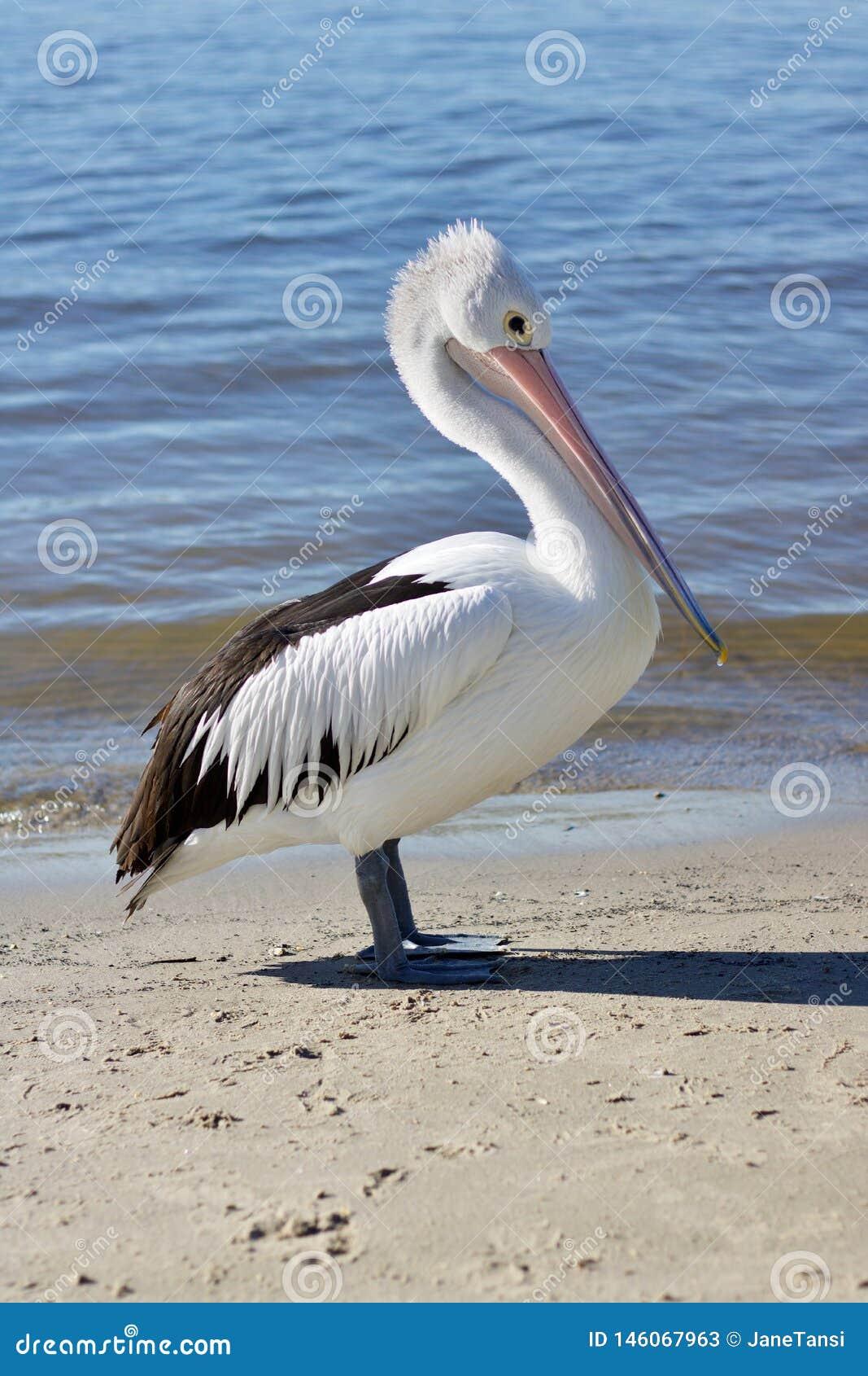 Pellicano o Pelecanus australiano Conspicillatus che sta sulla sabbia con acqua che avvolge delicatamente dietro - l immagine