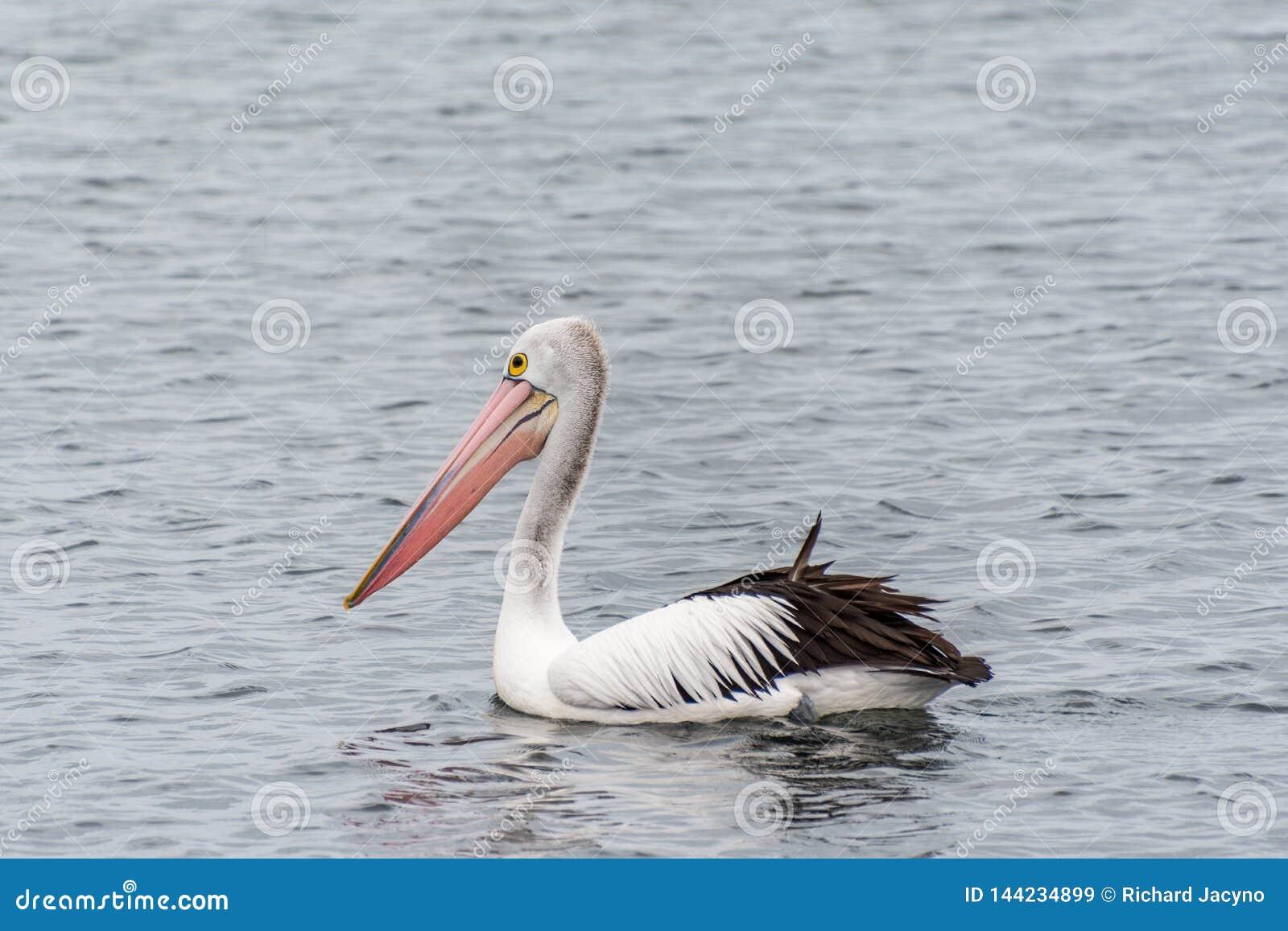 Pellicano sulla riviera alla spiaggia Australia di Rockingham
