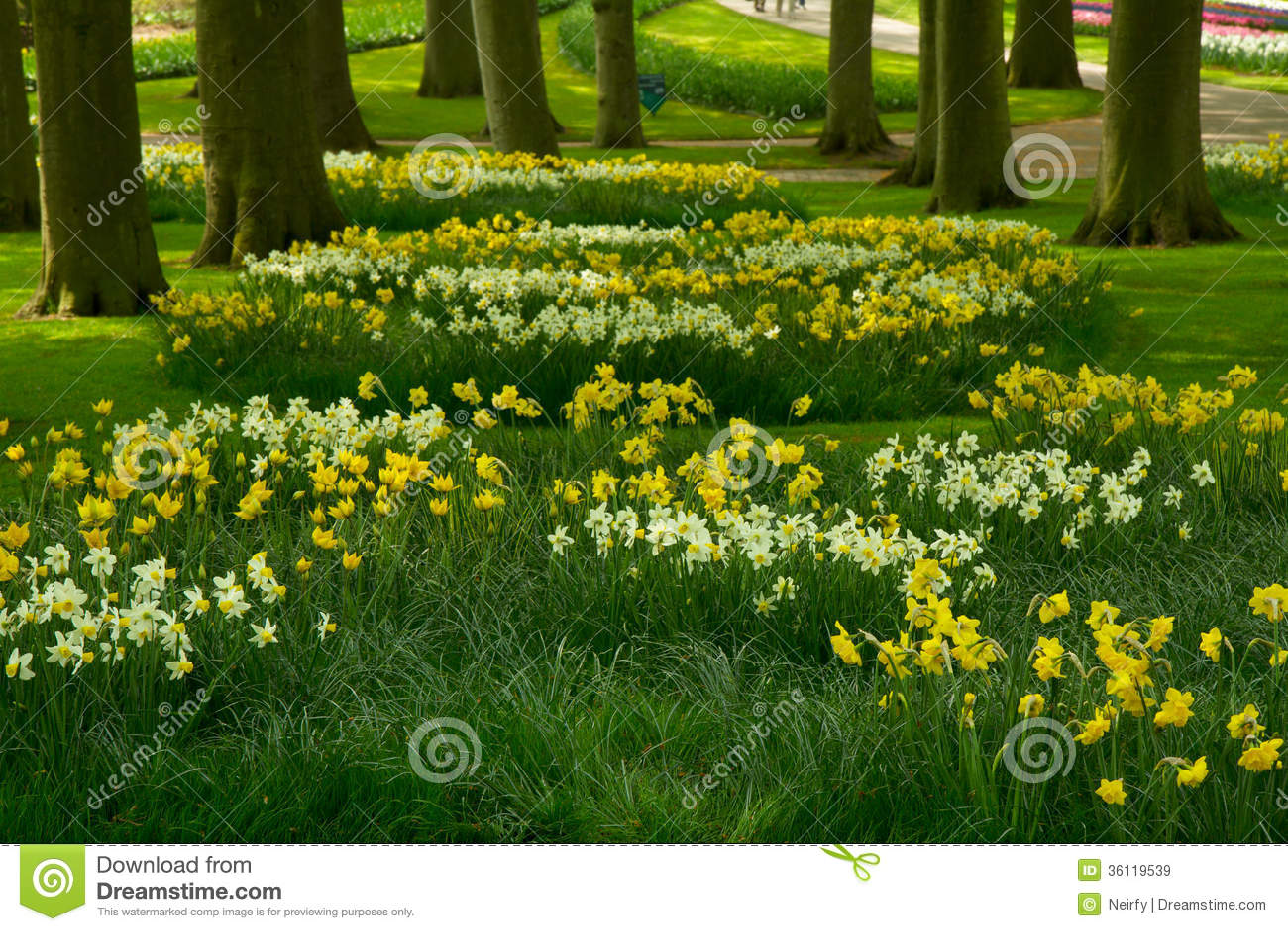 Pelouse d 39 herbe avec le jardin de jonquilles au printemps for Le jardin keukenhof