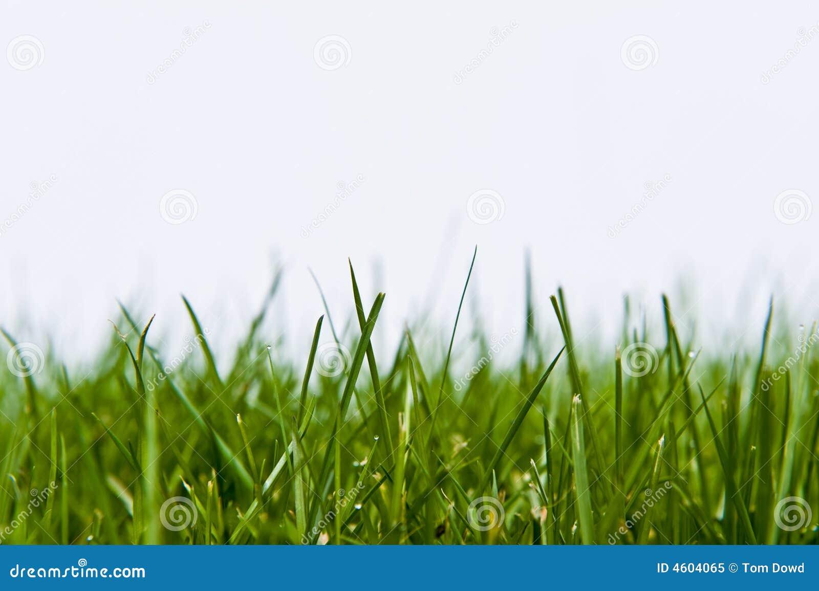 Pelouse d herbe sur le blanc