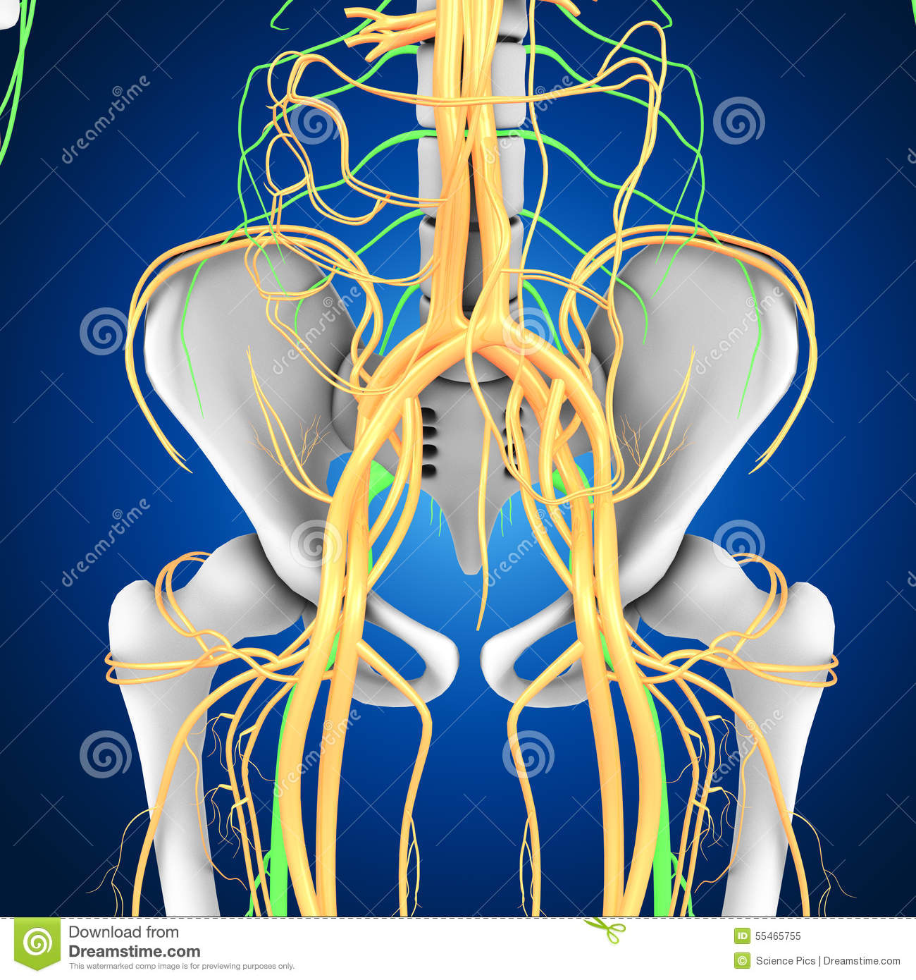 Pelvic Hip Stock Illustration Illustration Of Illustration 55465755