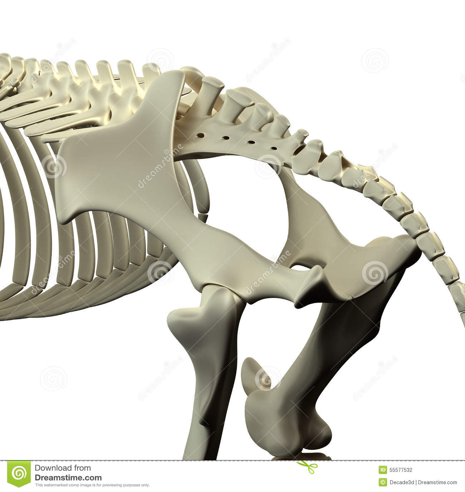 Pelvis Del Caballo - Anatomía Del Equus Del Caballo - Aislada En ...