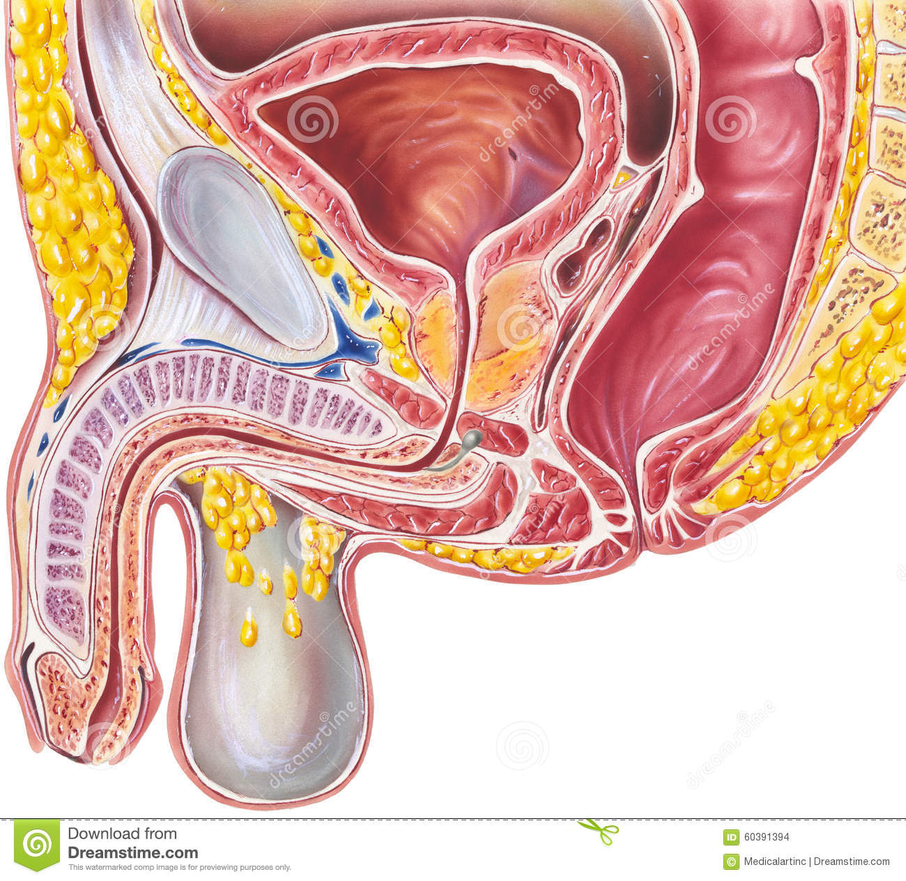 Pelvis - Male Cutaway View stock photo. Image of prostate - 60391394