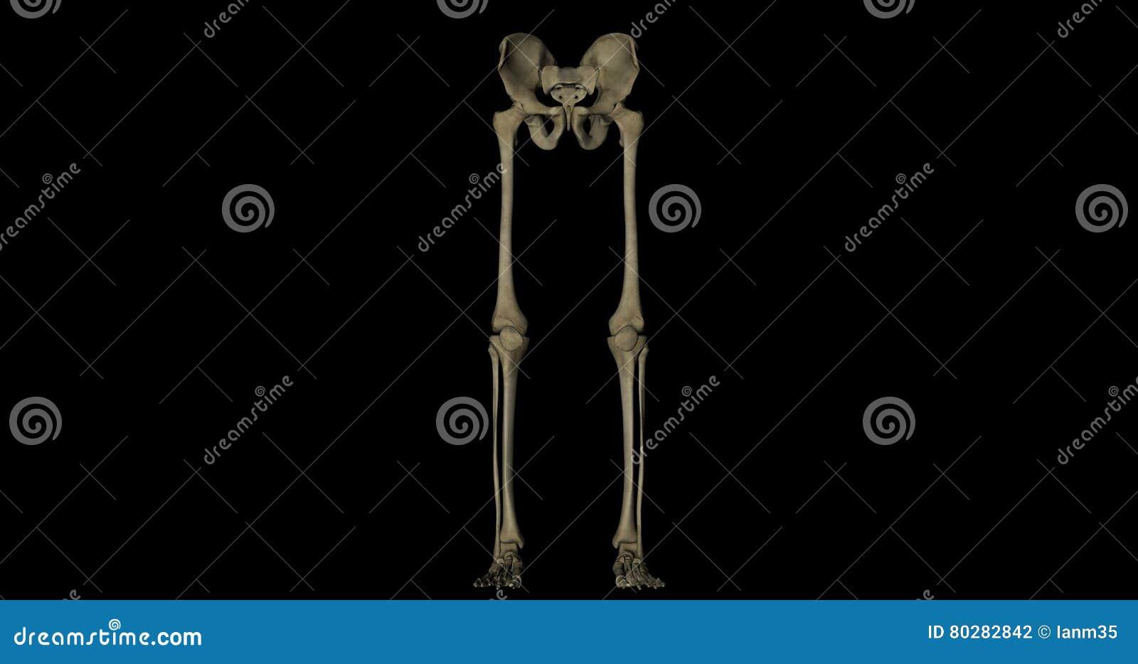Pelvis Und Beinskelett Des Menschlichen Körpers Stock Footage ...