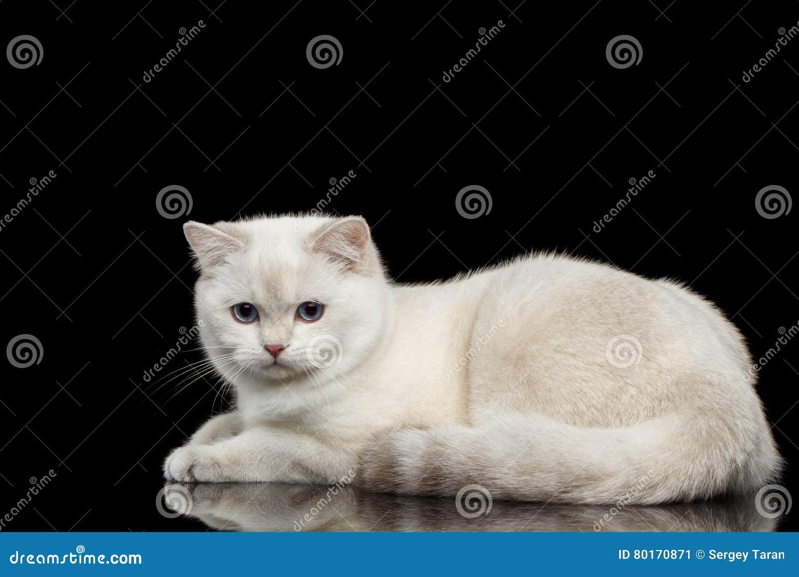 Pelz-Briten züchten weiße Farbe der Katze auf lokalisiertem schwarzem Hintergrund