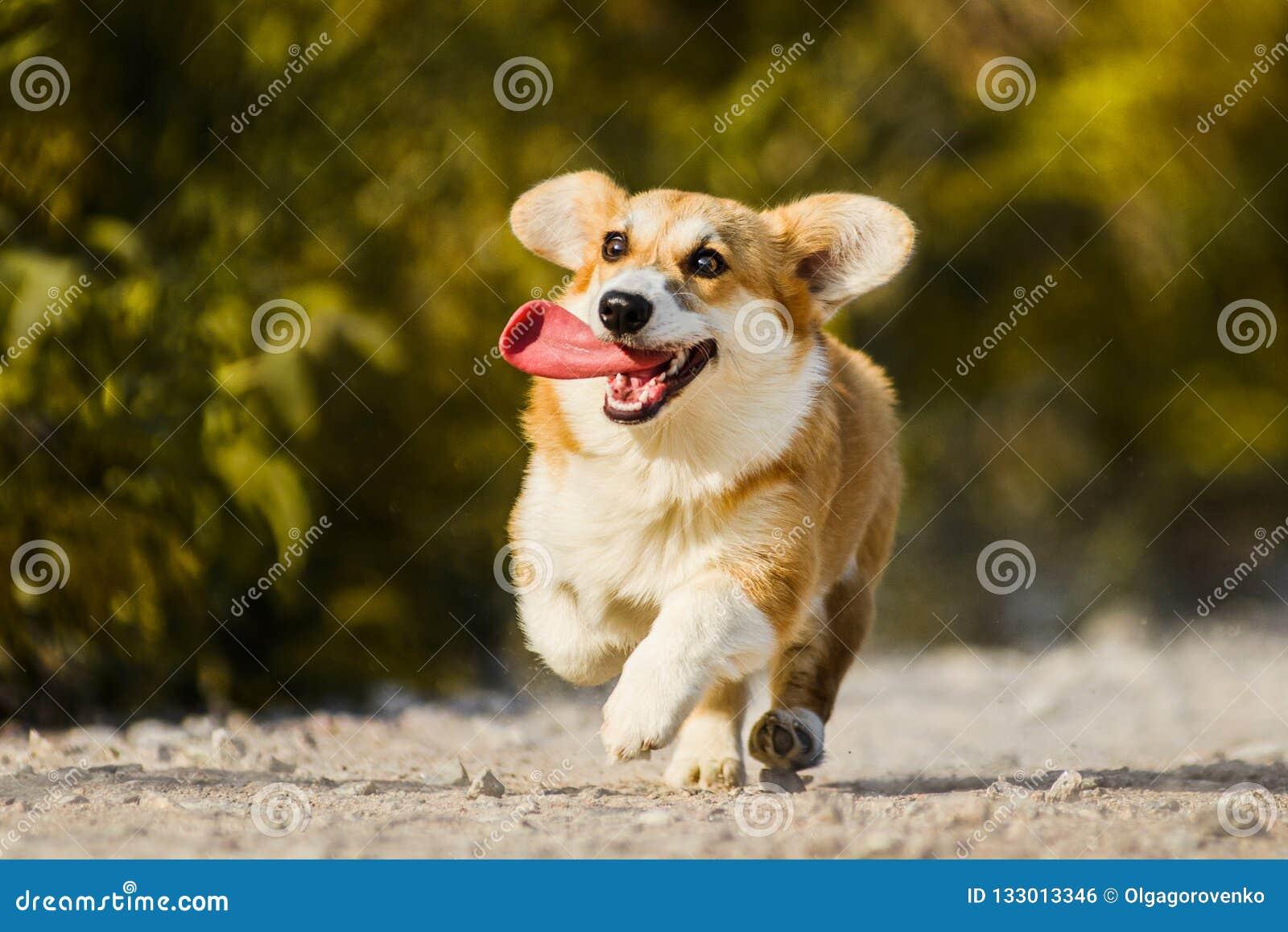 Pembroke engraçado do Corgi de Galês da cara que corre com língua para fora