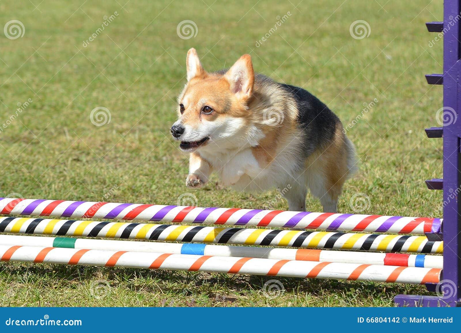 Pembroke Welch Corgi an einem Hundebeweglichkeits-Versuch