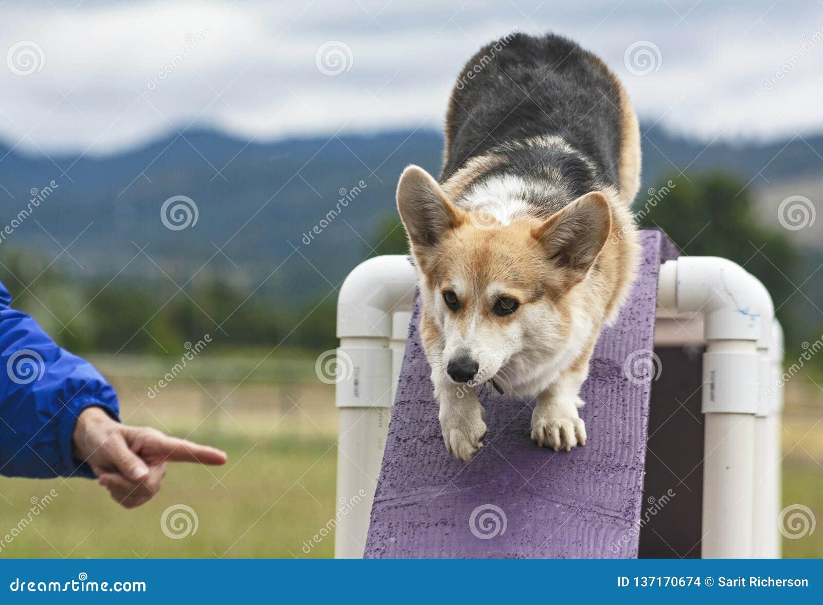 Pembroke Welsh Corgi Agility Dog na ponte Ogstacle