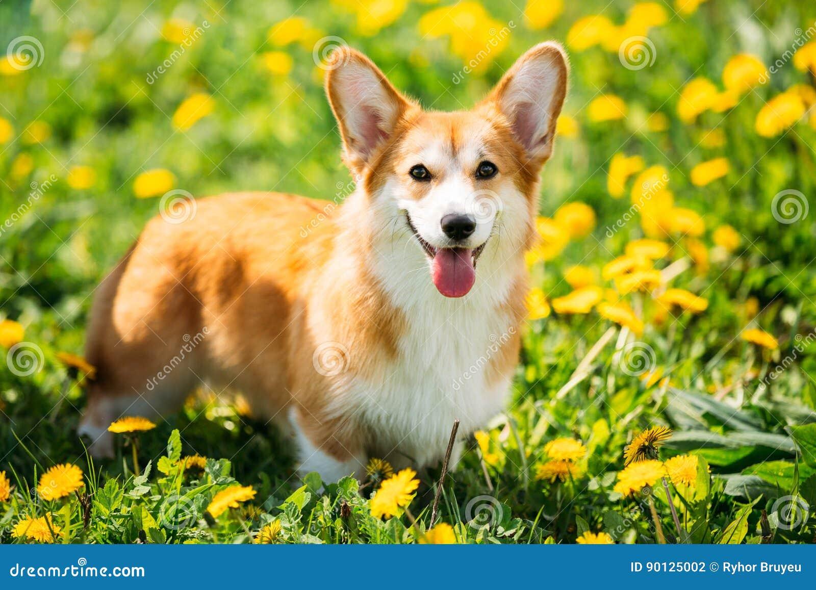 Pembroke Welsh Corgi Dog Puppy que juega en hierba verde del verano