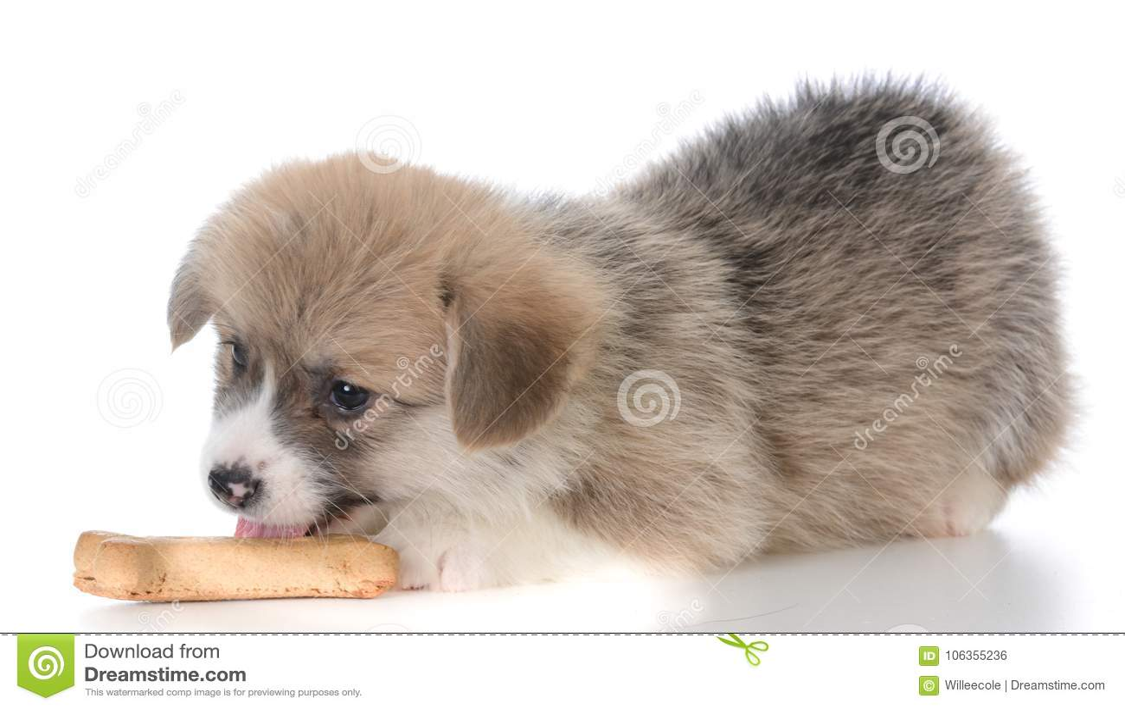 Pembroke Welsh Corgi Puppy With Dog Bone Stock Photo Image Of Animal Train 106355236