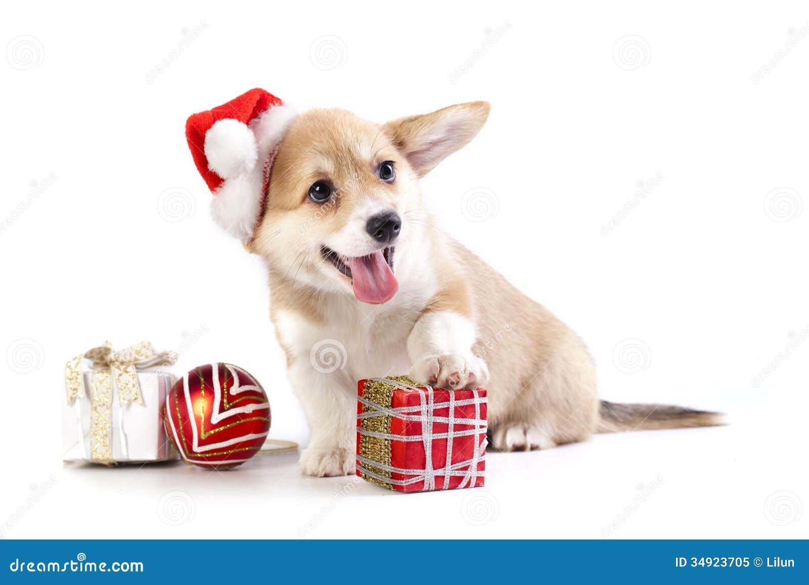 Pembroke welsh corgi puppy stock image of animal