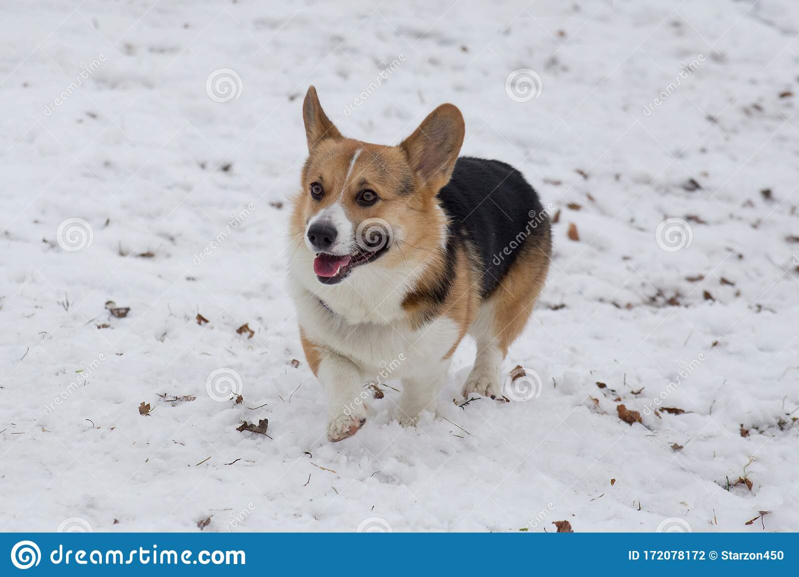 Pembroke Welsh Corgi Puppy Is Walking In The Winter Park Pet Animals Stock Photo Image Of Purebred Tail 172078172