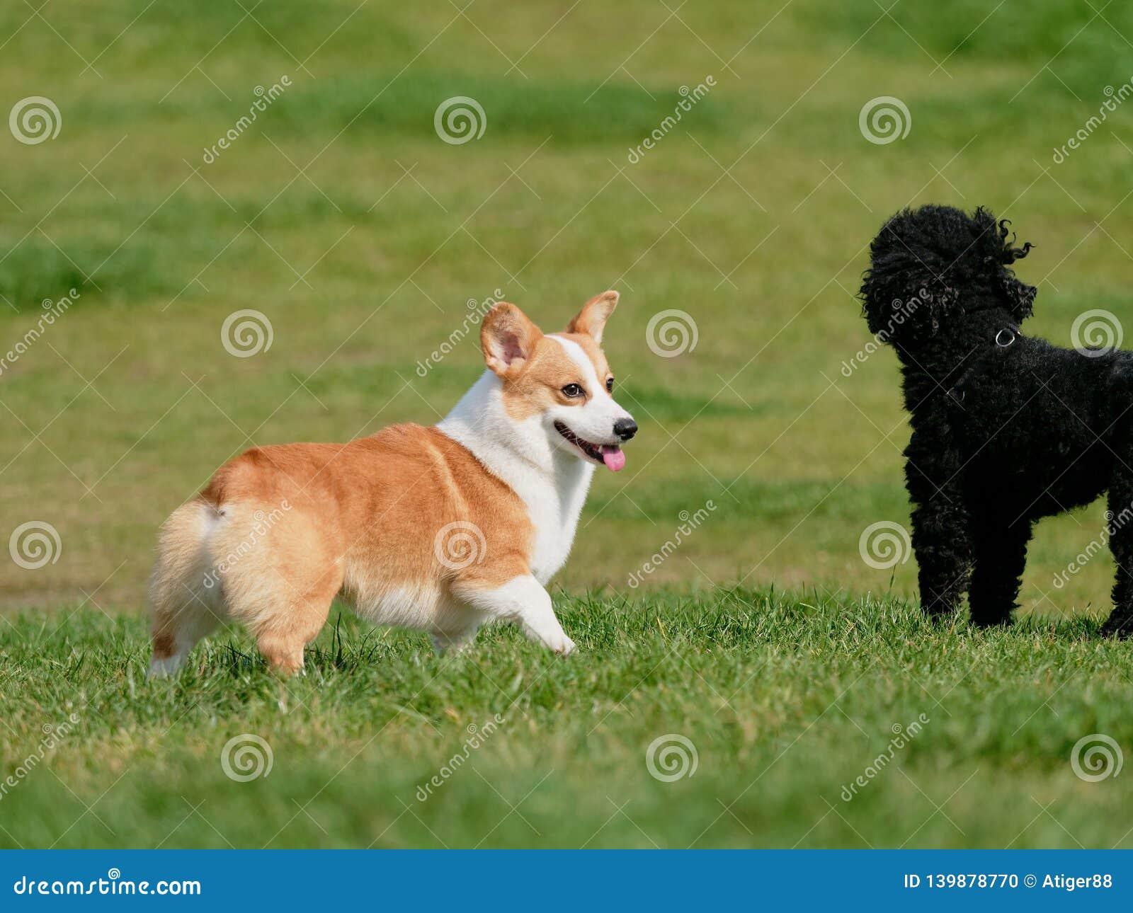 Pembroke Welsh Corgi, spelen van Hond het Welse Corgi met zwarte poedel op groen grasgebied in zonnige dag