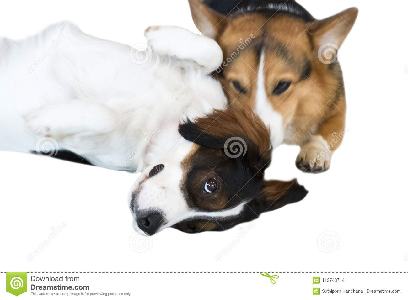 Pembroke Welsh Corgi and tricolor Australian isolate on white background. Clipping path