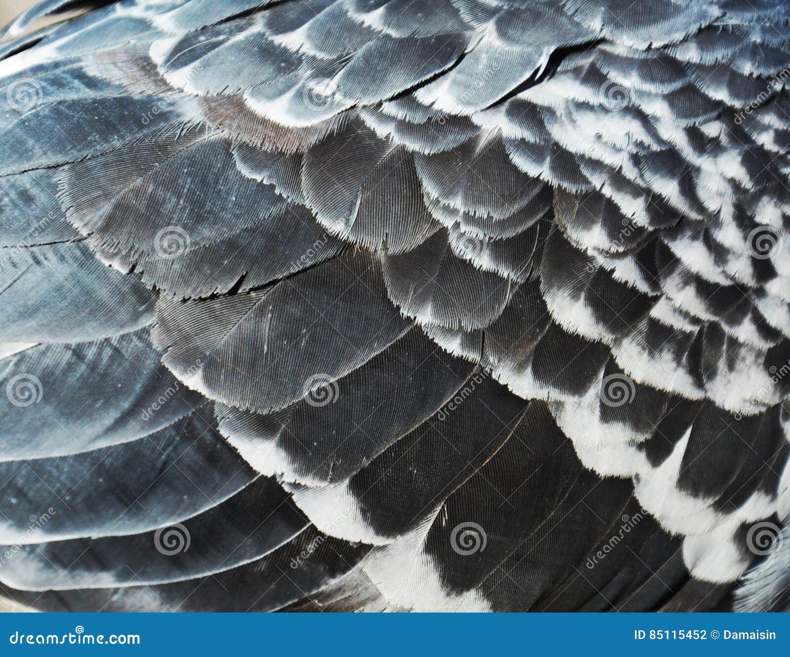 Penas do pombo