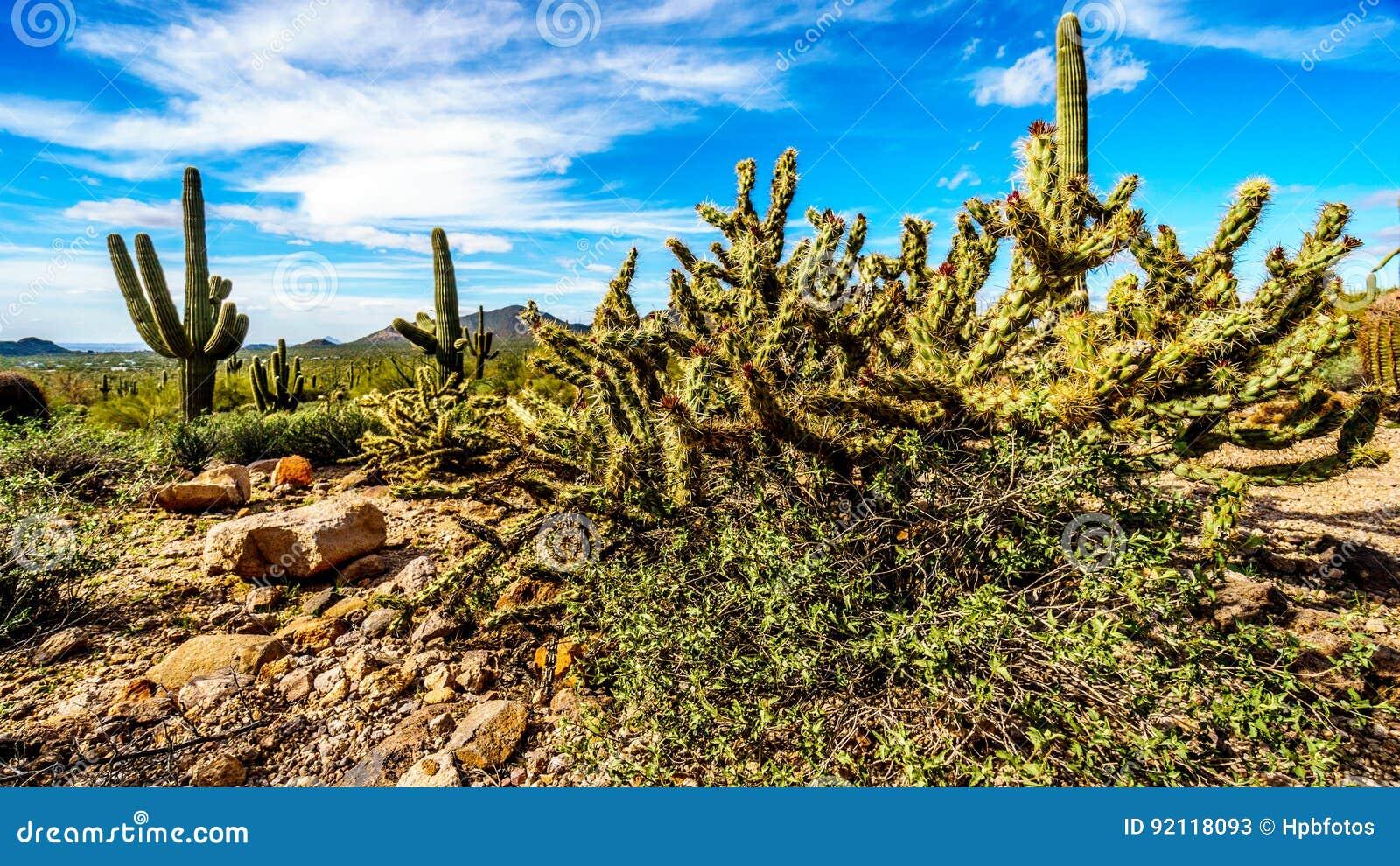 Pencil cactus is the semi desert landscape of Usery Mountain Regional Park near Phoenix Arizona