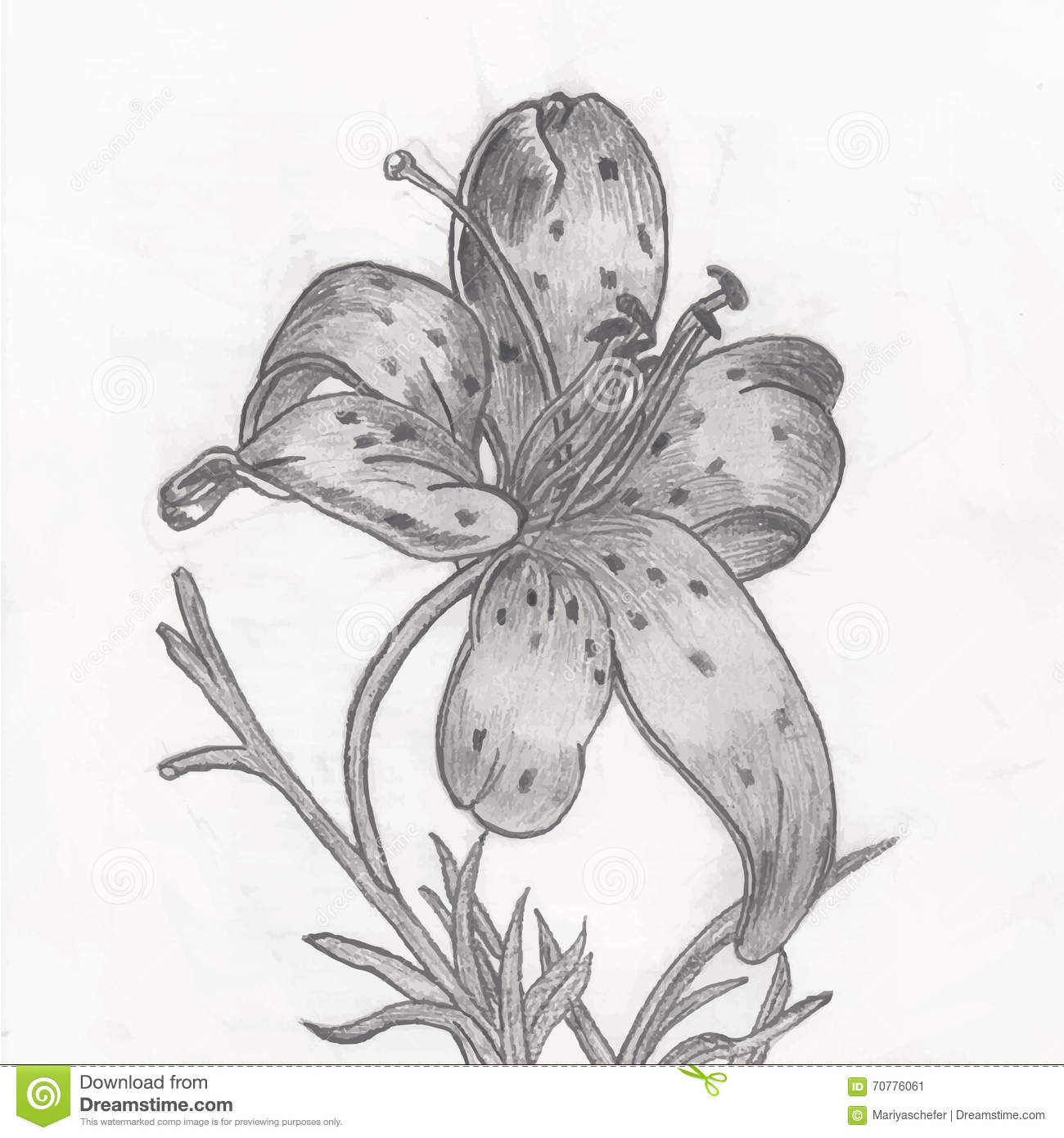 Pencil Drawing Of Lily Flower Illustration 70776061 Megapixl