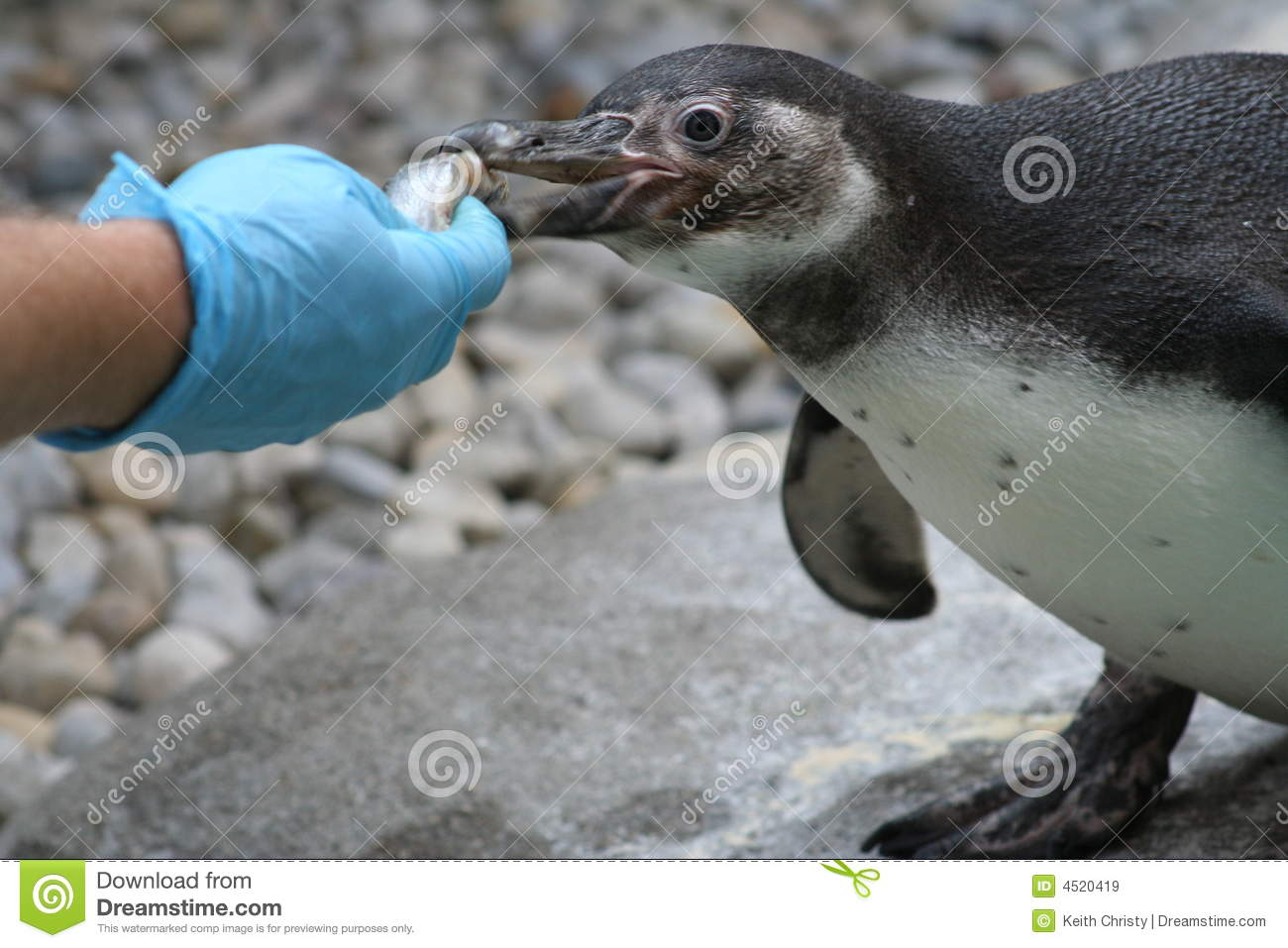 Penguin royalty free stock images image 4520419 for Penguin and fish