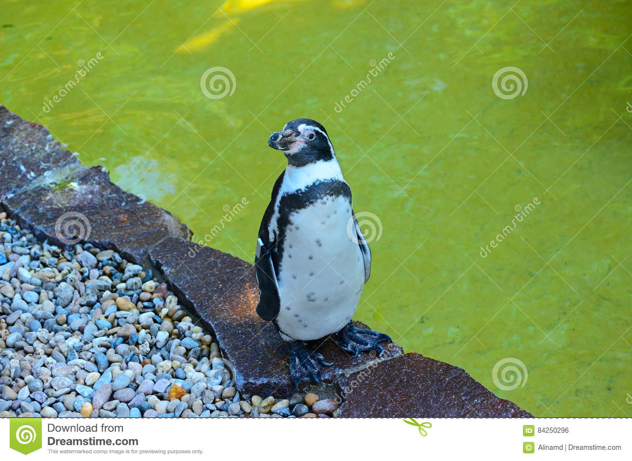 a brief description of penguin species in southern hemisphere Interesting information about emperor penguins, king penguins, chinstrap  penguins & more  most penguins live in the southern hemisphere  the  emperor penguin is the tallest of all penguin species, reaching as tall as 120 cm ( 47 in) in.