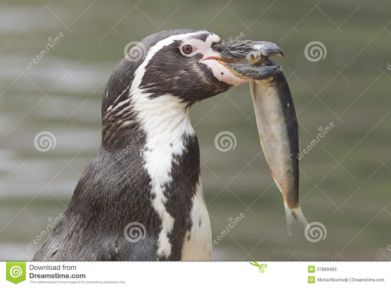 penguin eating fish