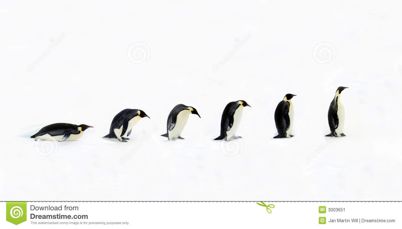 evolution of penguins Evolution of penguins for this evolution project, i choose to research penguins the classification for this animal is as follows: k neornithes, p.