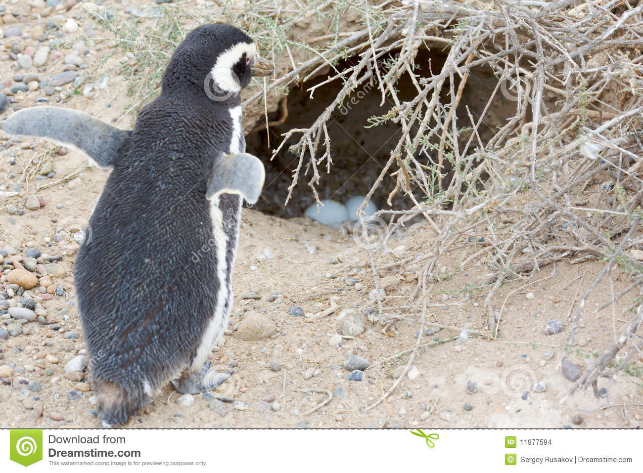 Penguin and nest stock...