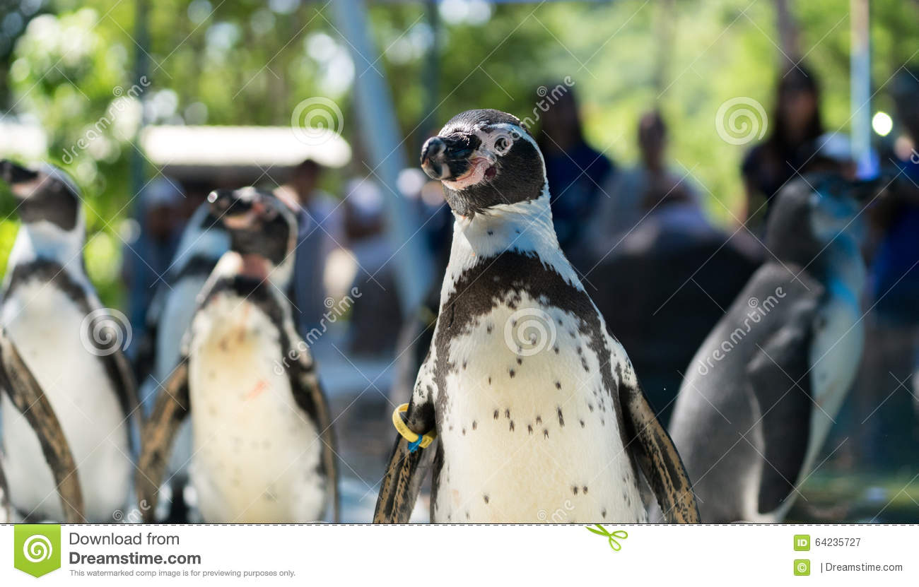 a study of the penguin a flightless bird Start studying science chapter 17 section 2 learn vocabulary, terms, and more with flashcards, games, and other study tools  flightless birds do not have this which is why they can't fly  penguin ostrich kiwi what is the larges living bird ostrich penguins do have a very largy keel and strong flight muscles but their wings have.