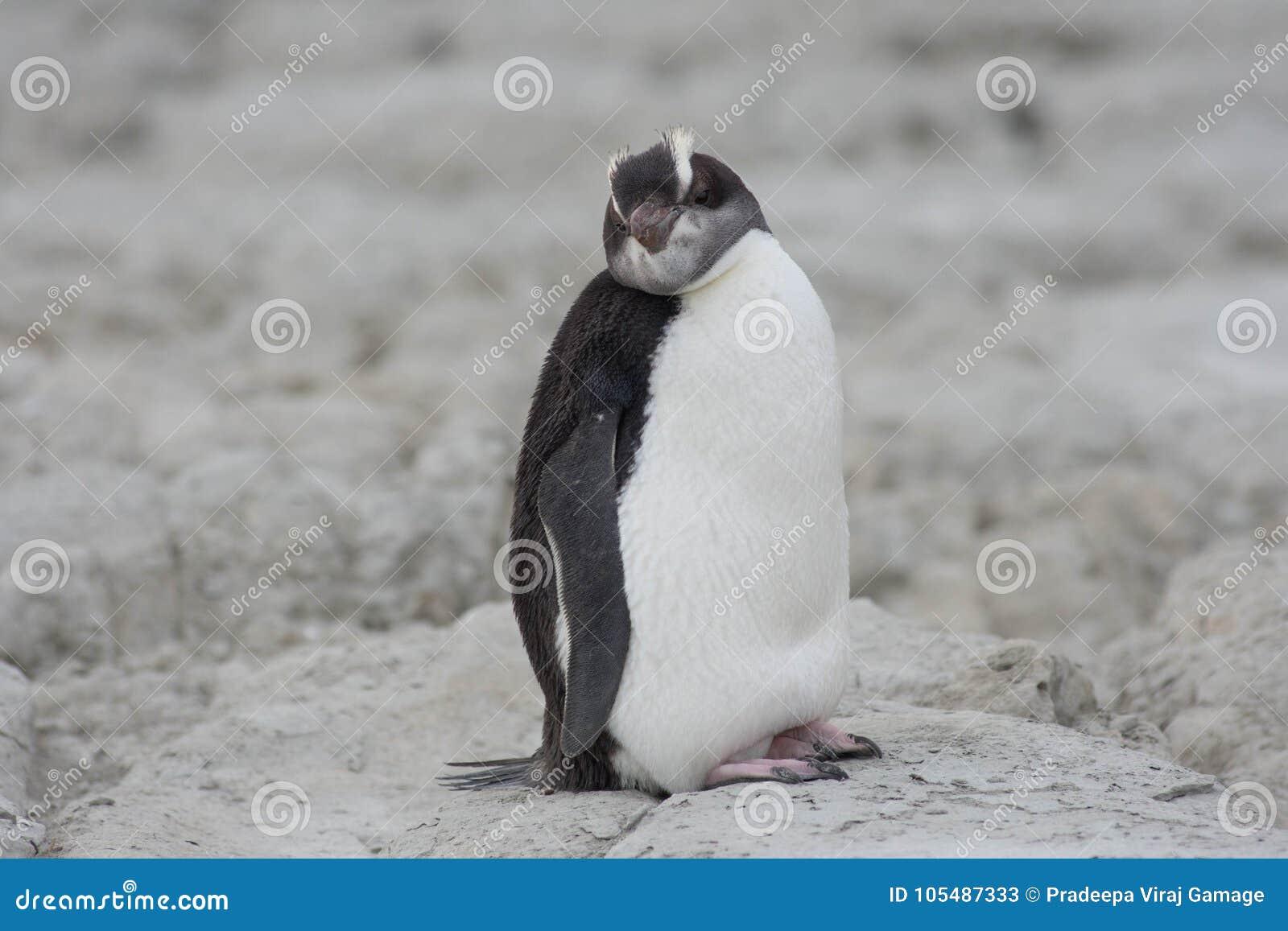 Penguin Kaikoura Sea Side
