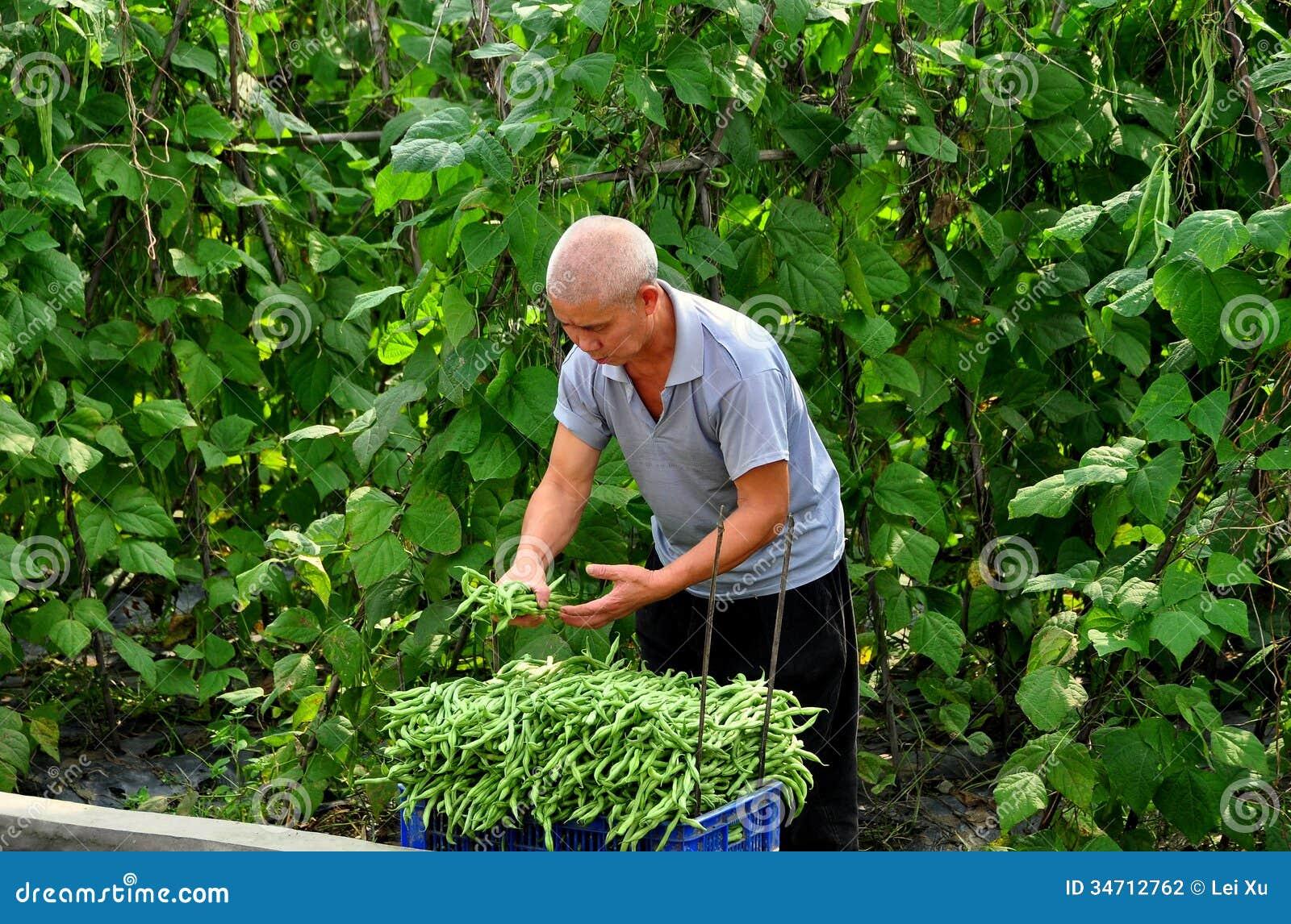 Pengzhou China Farmer Picking Green Beans Editorial Photography Image 34712762