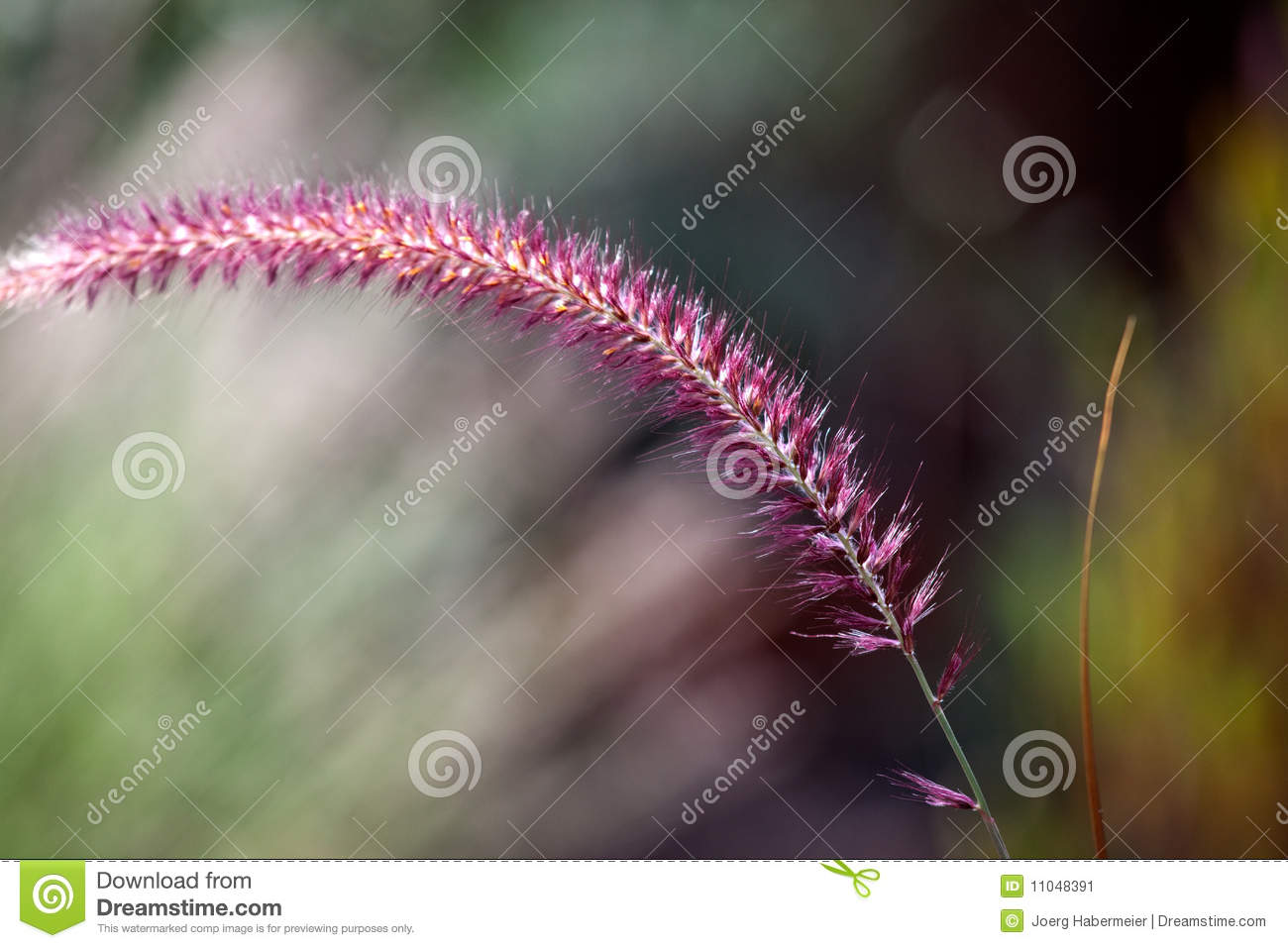 Penisetum Purple Ornamental Grass Plume Stock Image Image