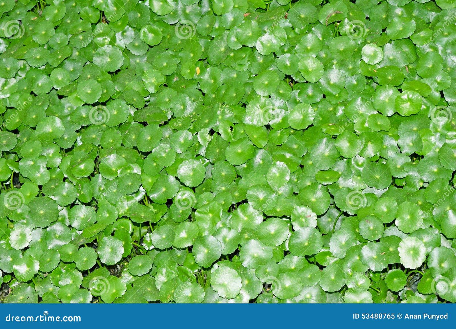 Pennywort asiático, é uma planta que indique no tratamento das doenças