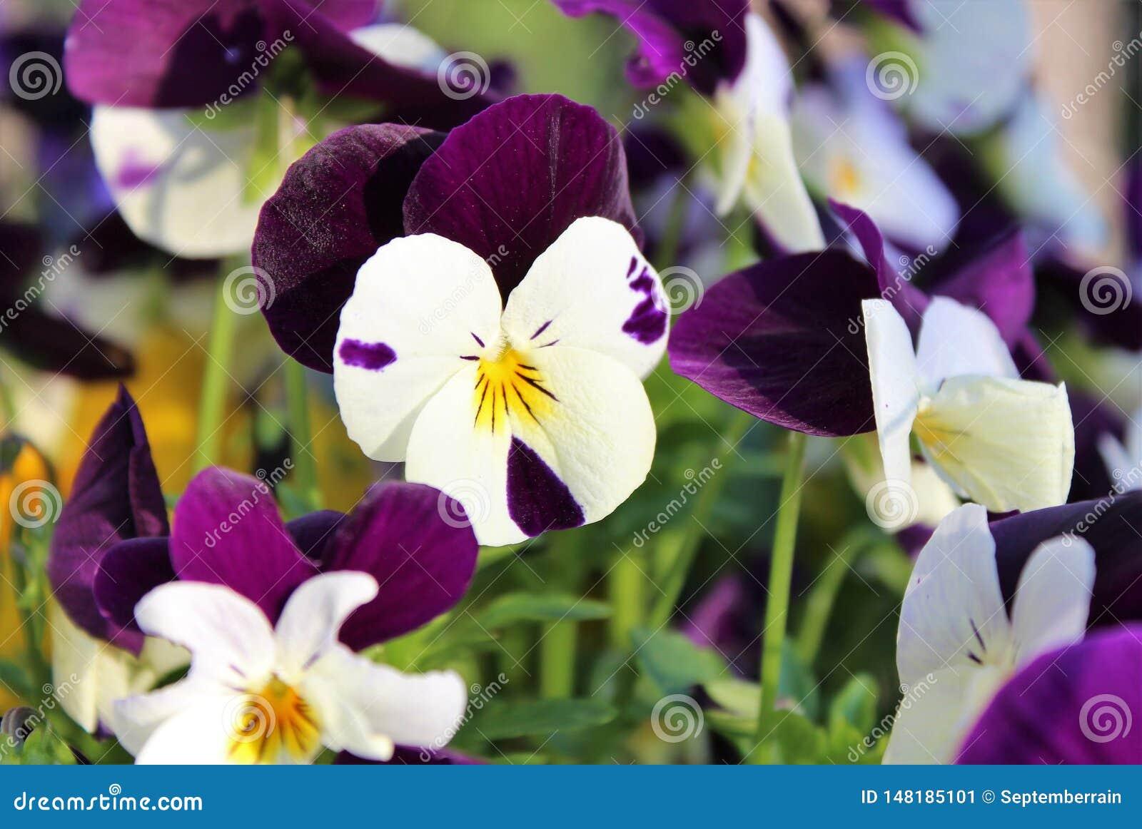 Penséblommor blommar i vår
