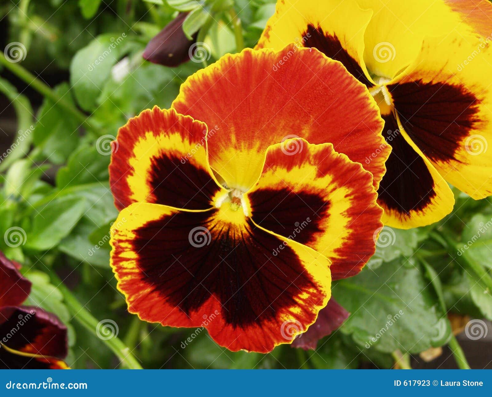 Pensee Orange Image Stock Image Du Jardin Veloute Noir 617923