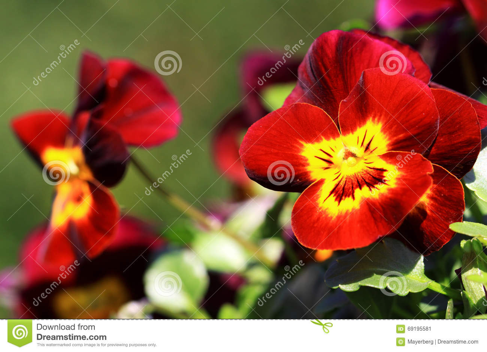 Pensee Rouge Fonce Avec Le Coeur Jaune Image Stock Image Du Rouge