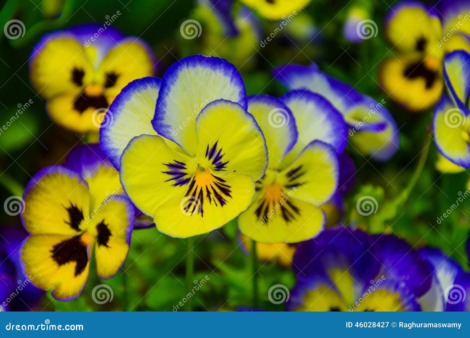 pens es color es fleur hybride de pens e image stock image du pourpr d veloppez 46028427. Black Bedroom Furniture Sets. Home Design Ideas