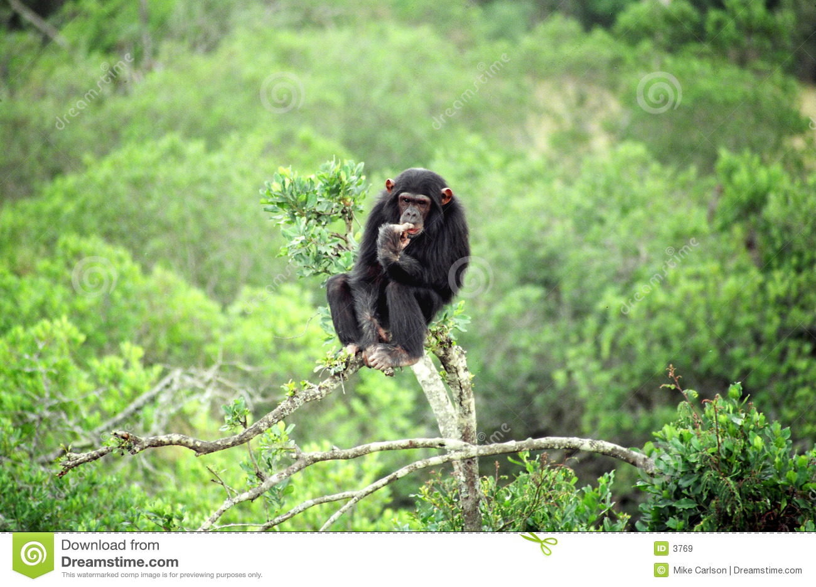 Pensamento do chimpanzé
