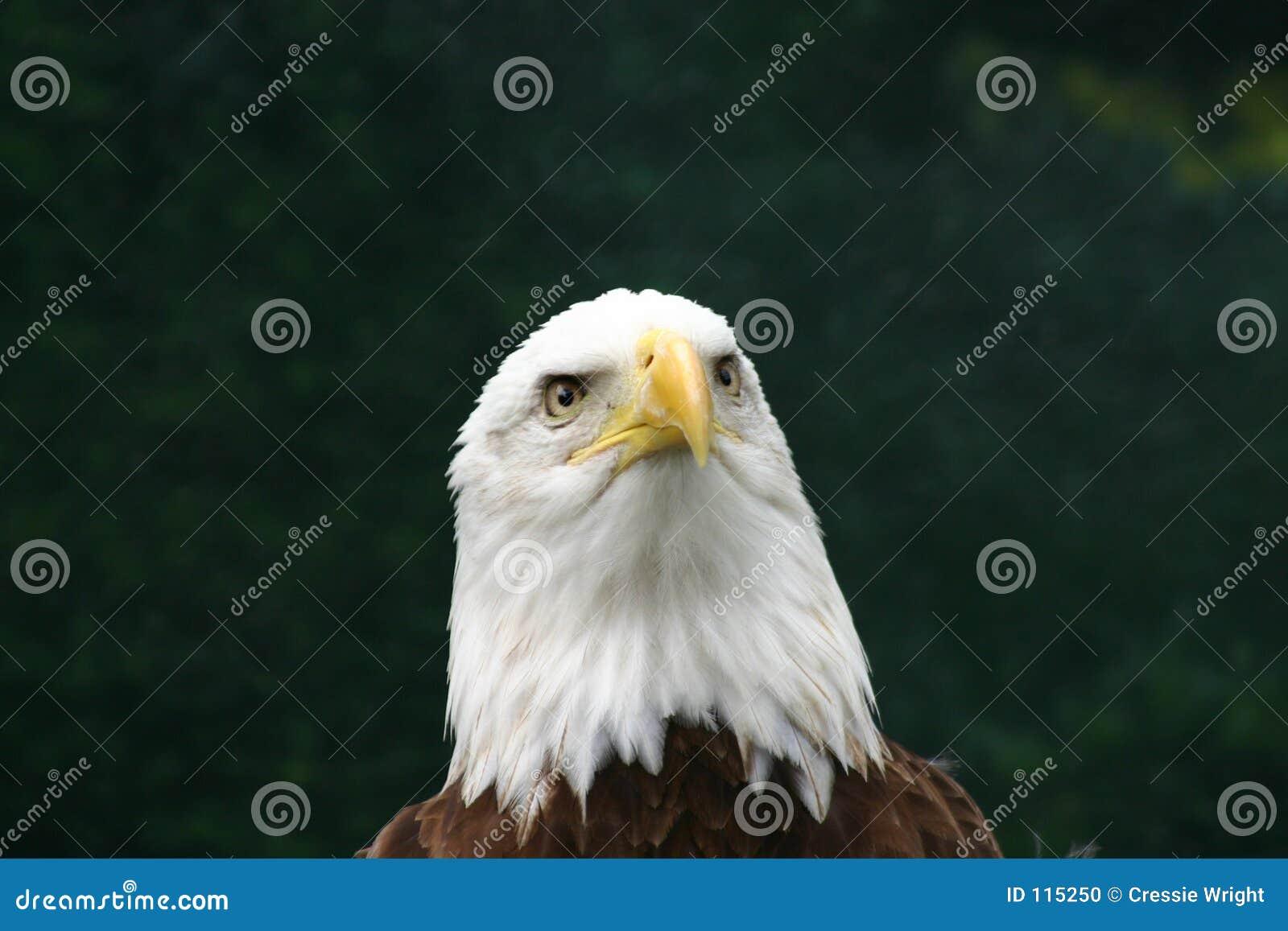 Pensamentos da águia