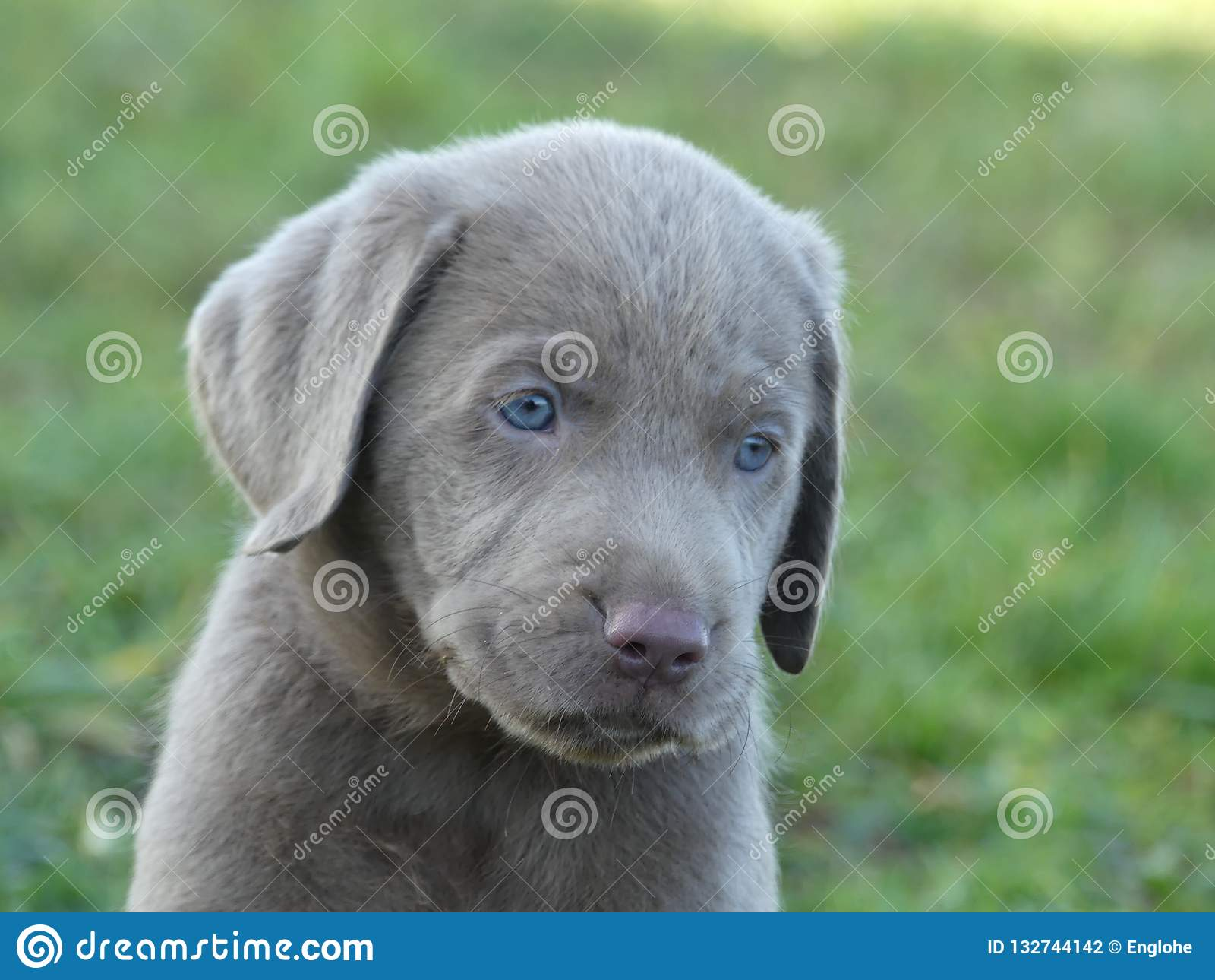 Labrador Retriever Silver Puppy Stock Photo Image Of Blue Grey 132744142
