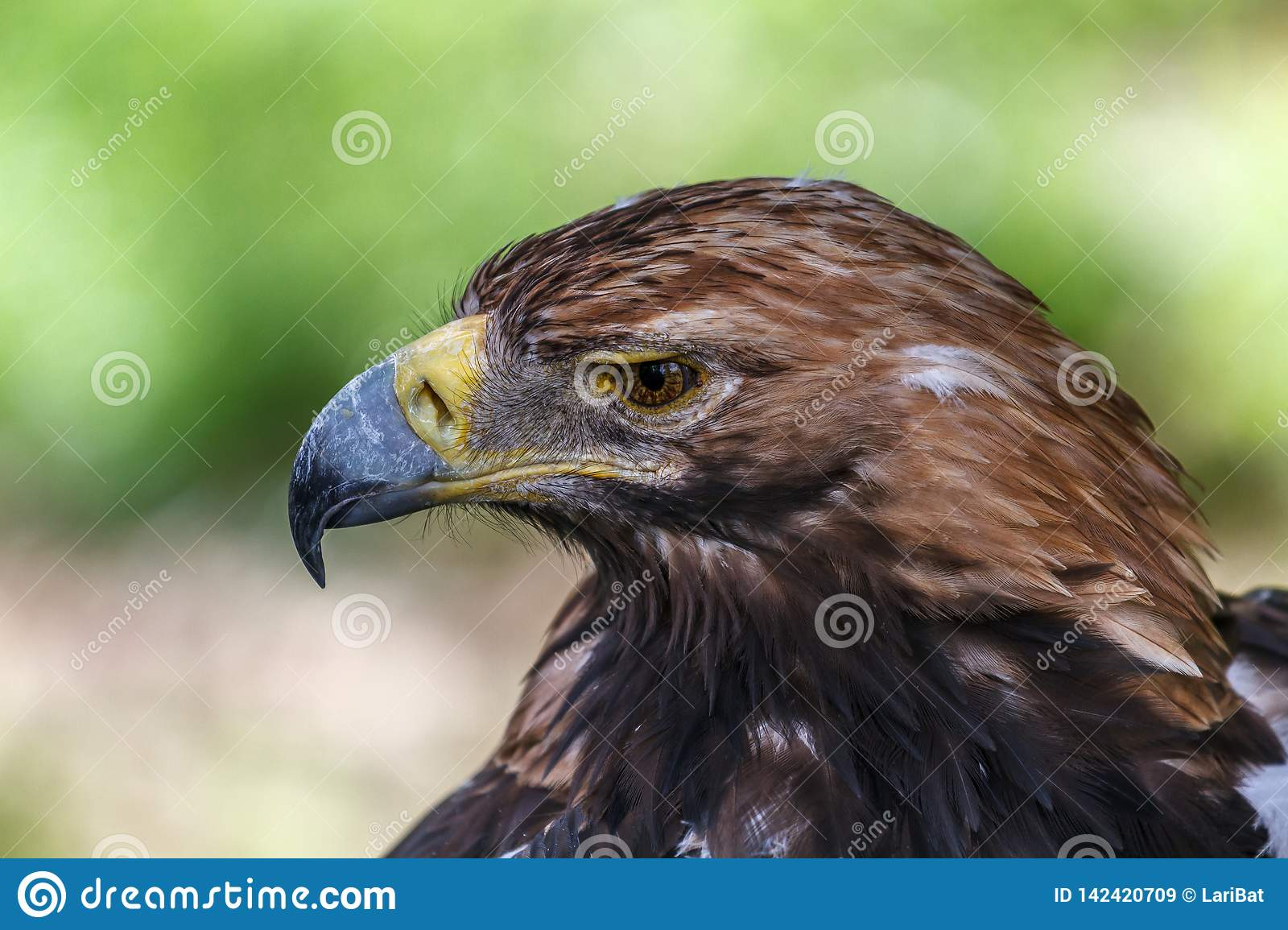 Pensive look of an eagle
