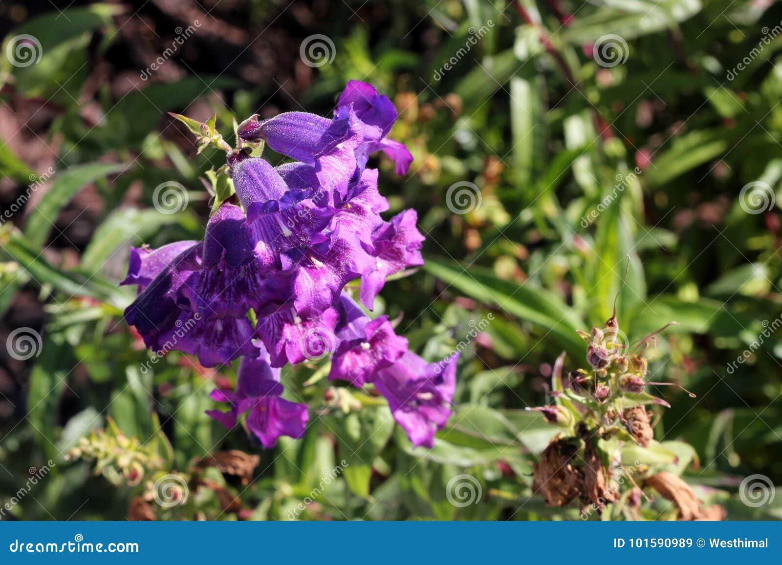 Penstemon purple cultivar