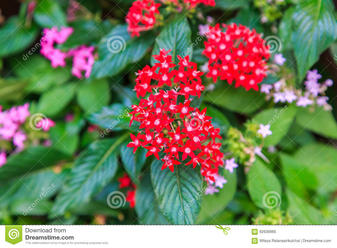 Pentas Pink And Red Little Star Shaped Flower Stock Image Image