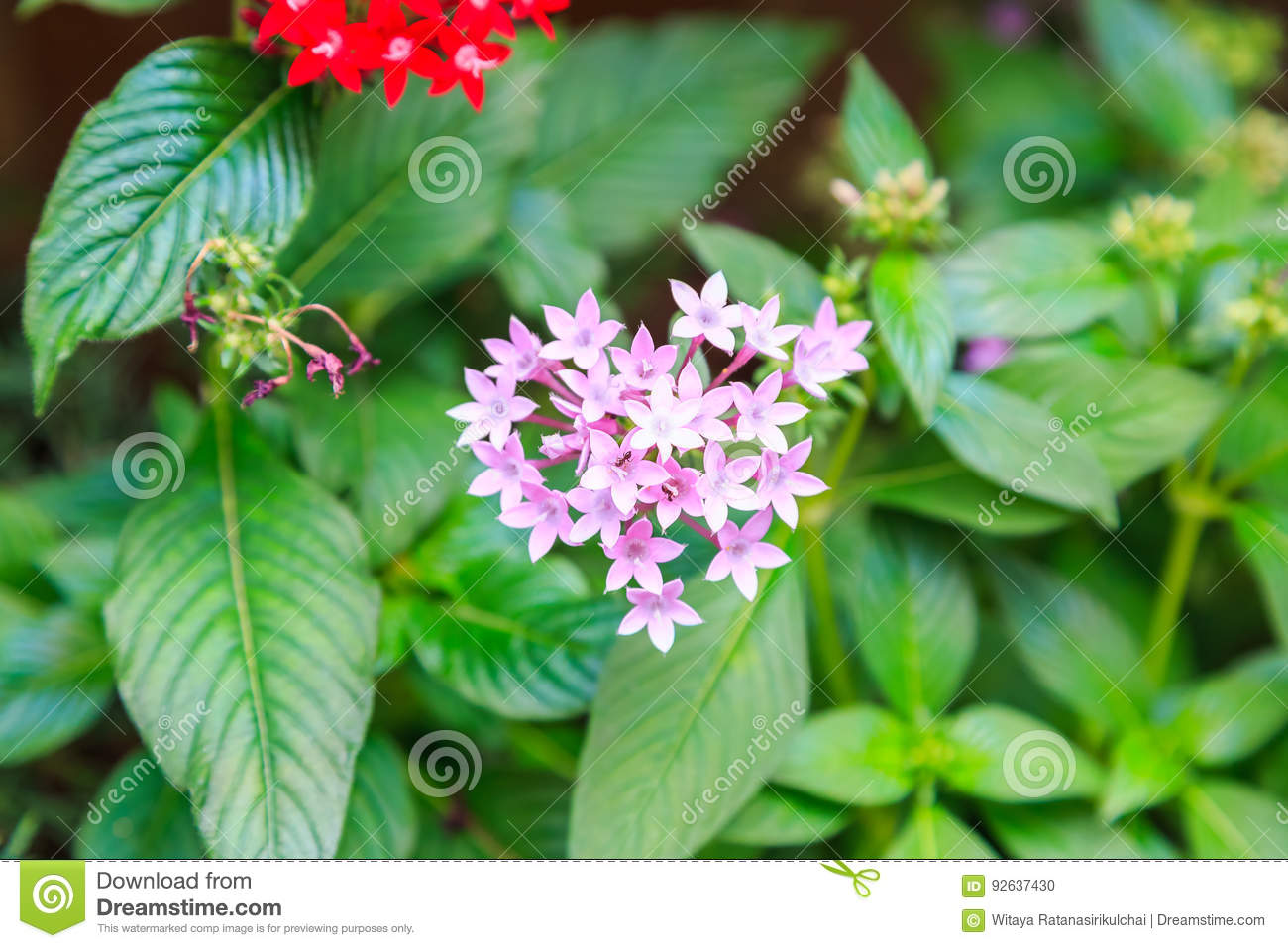 Pentas pink and red little star shaped flower stock photo image download comp mightylinksfo