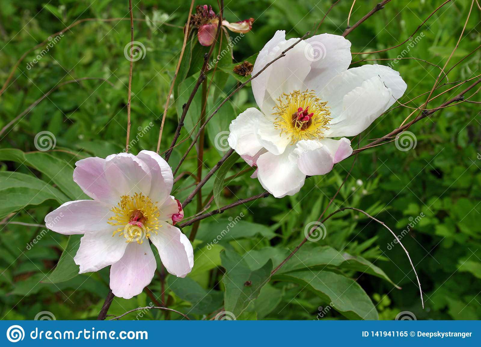 Peonia cinese selvatica di fioritura - lactiflora di Paeonia
