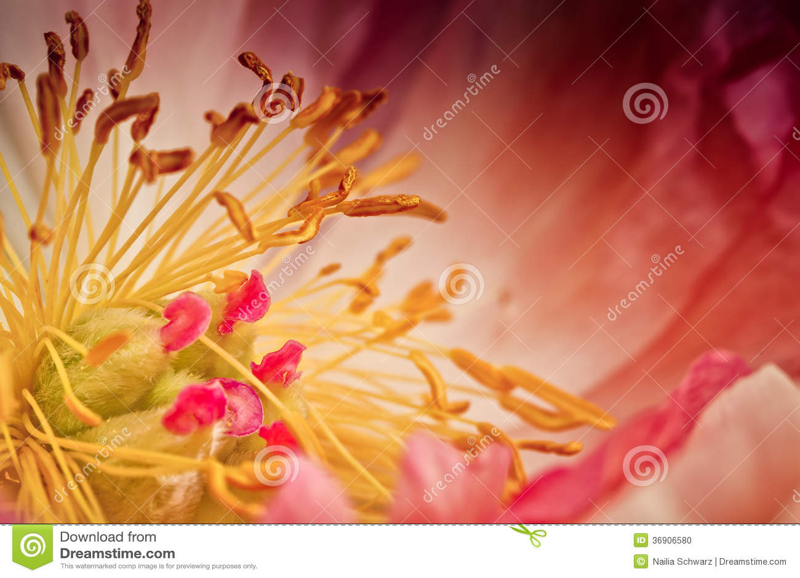 Peonia kwiat Makro-