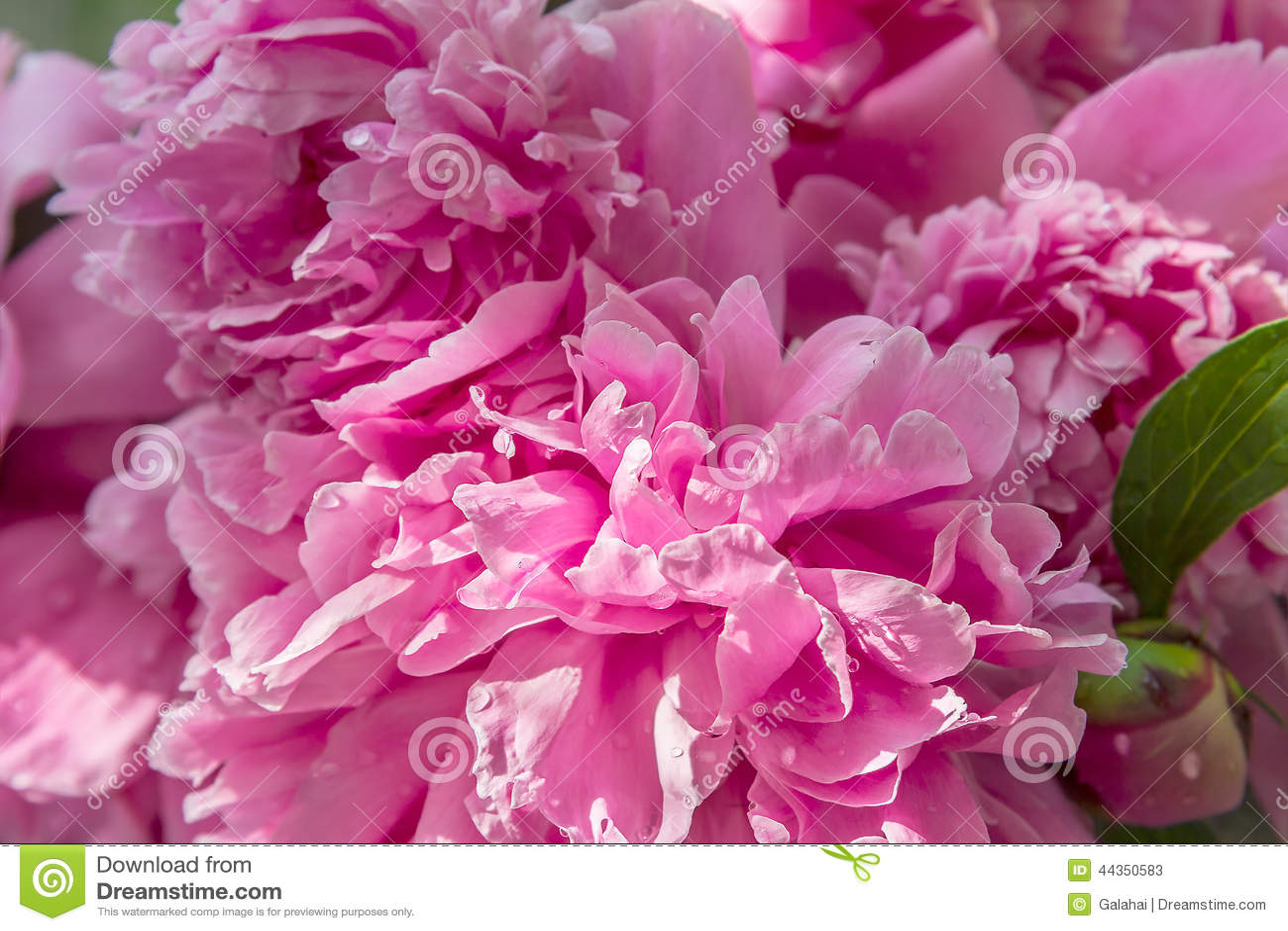 Peonia rosa con le gocce di acqua