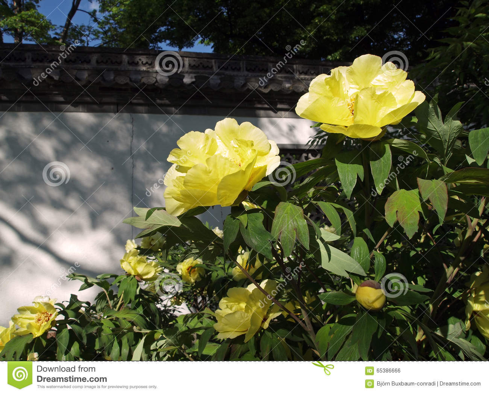 Peonie di fioritura gialle in giardino cinese fotografia for Giardino cinese
